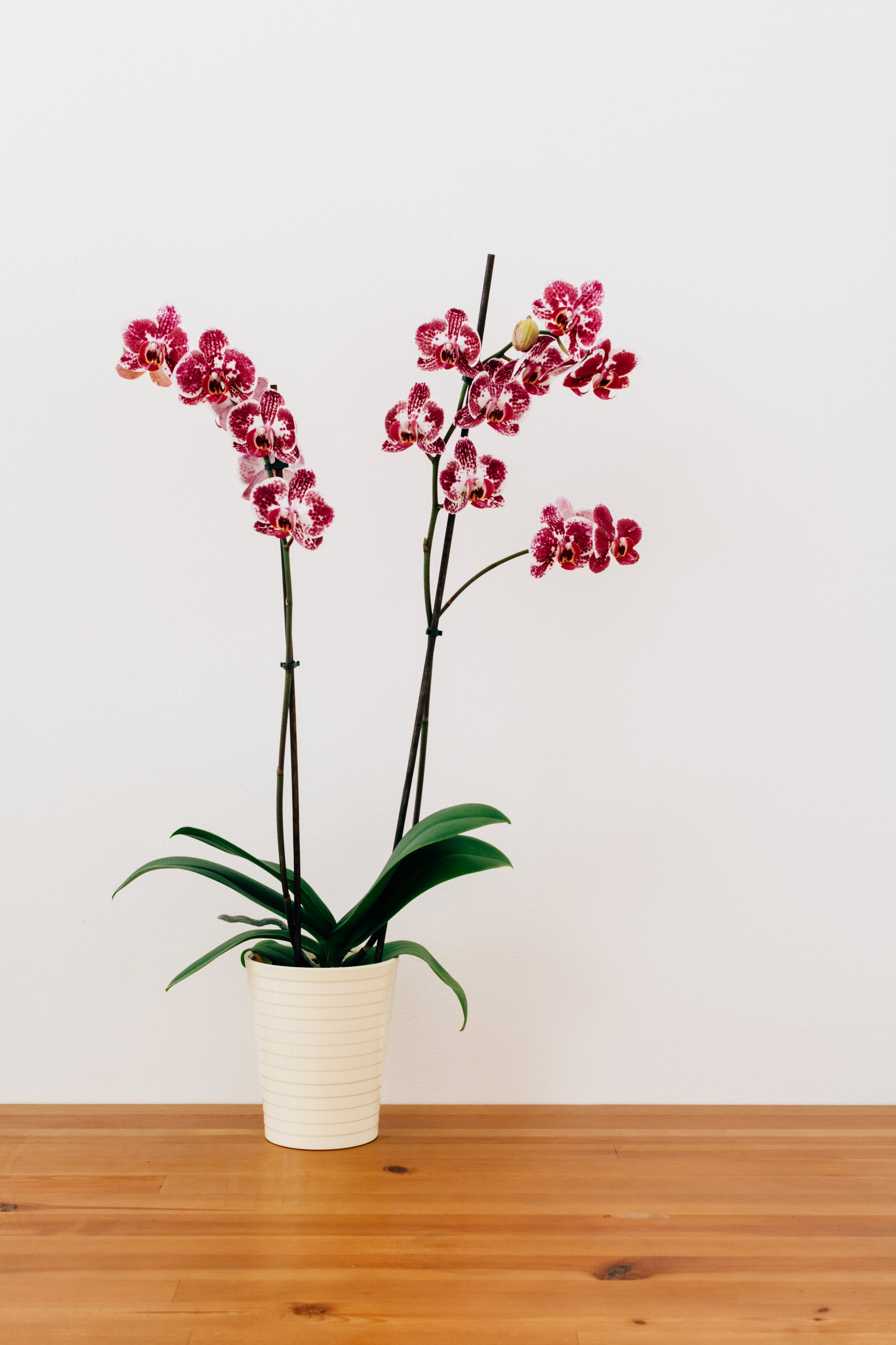 The 10 Essential House Plants - Orchid