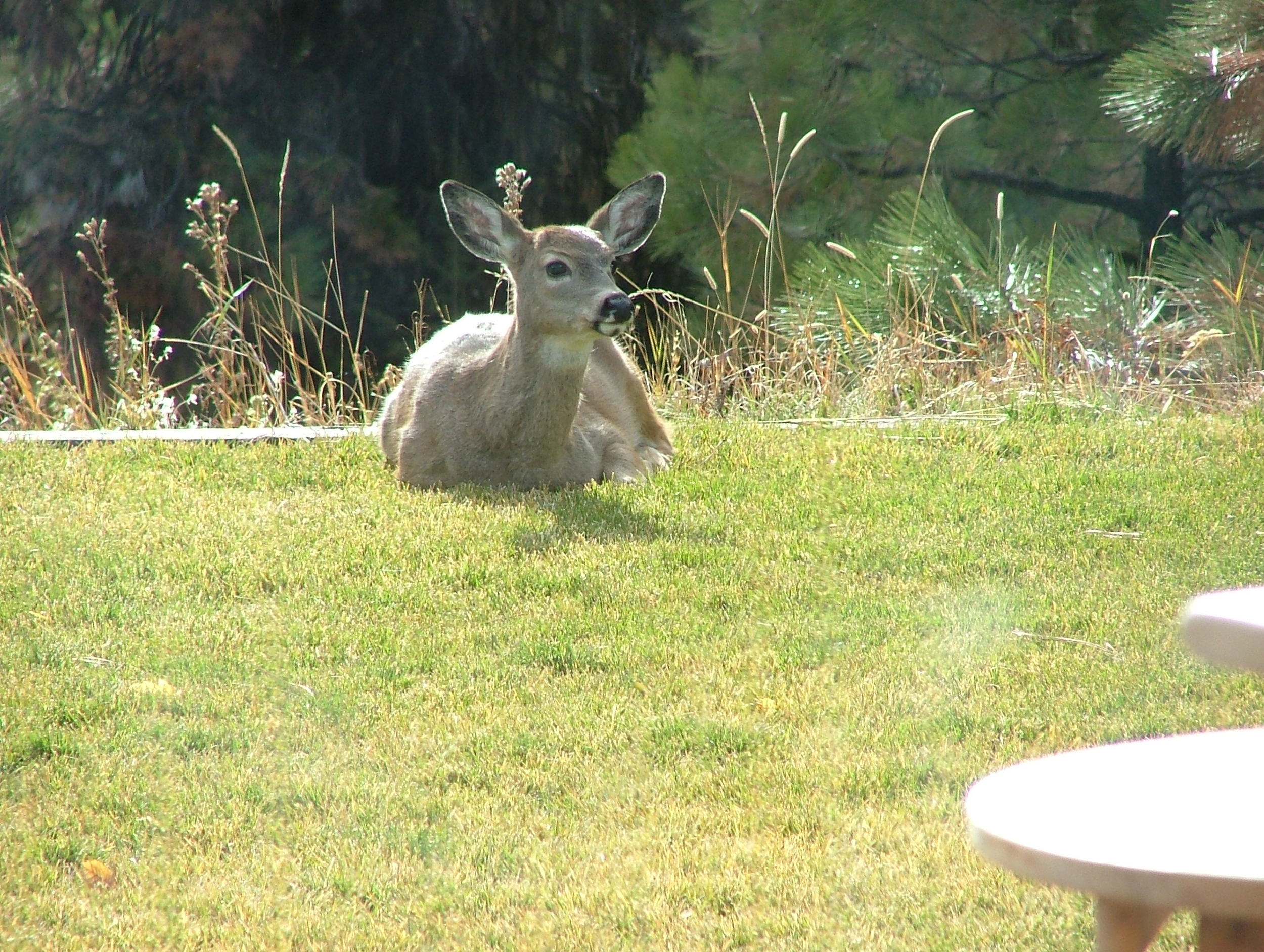 The deer feel quite at home in our yard.