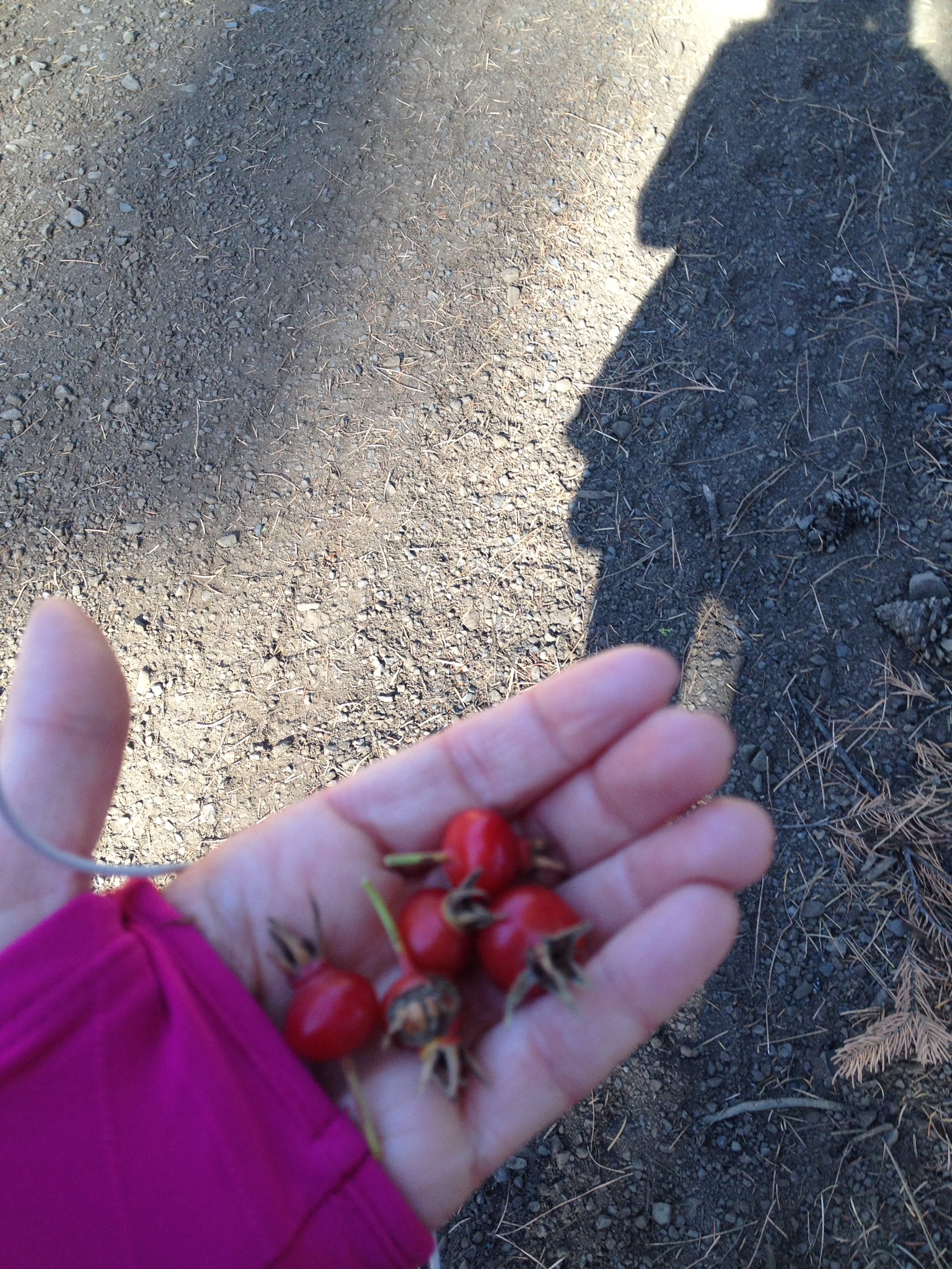 Rosehips from wild roses, good tea they say, found on one of my hike/runs