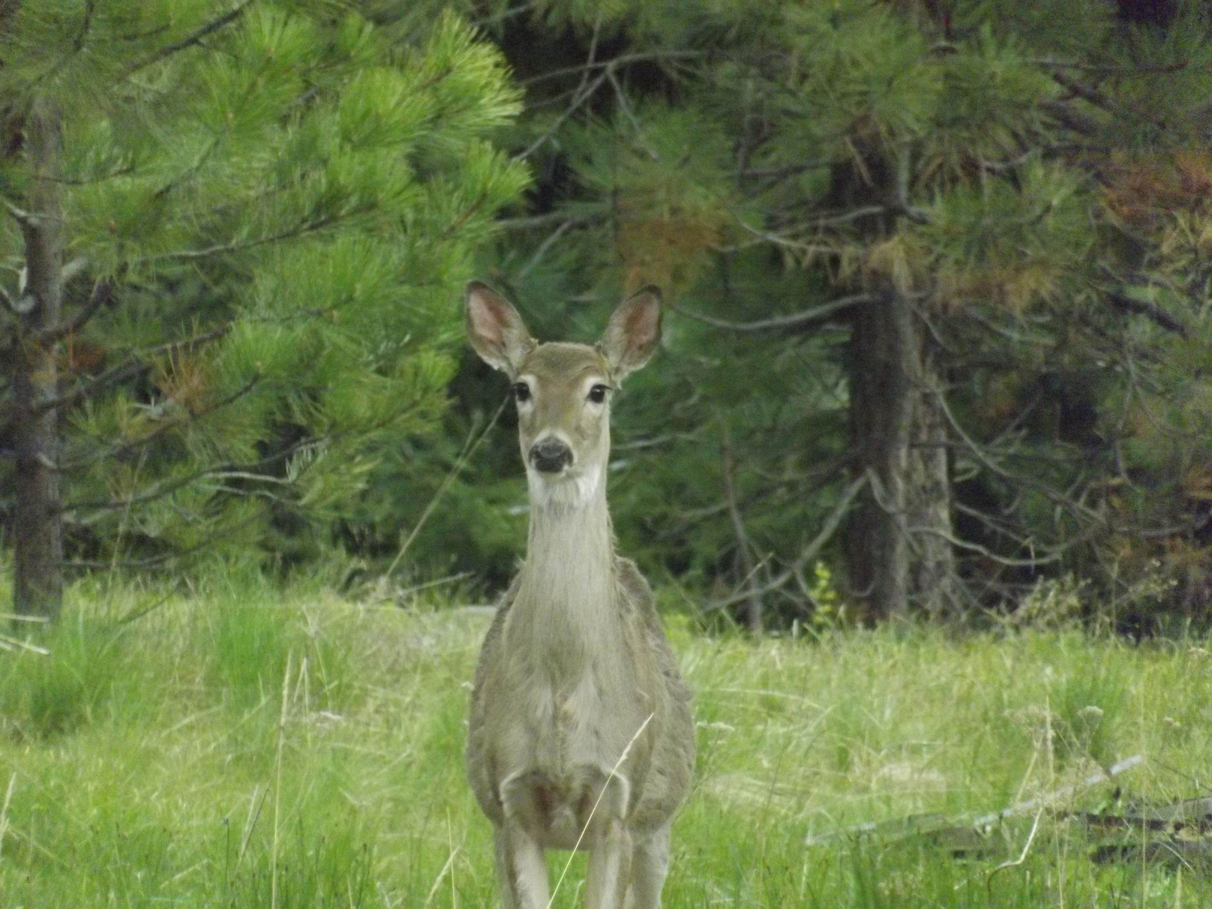 Deer on the border of our yard looking at us watch her.
