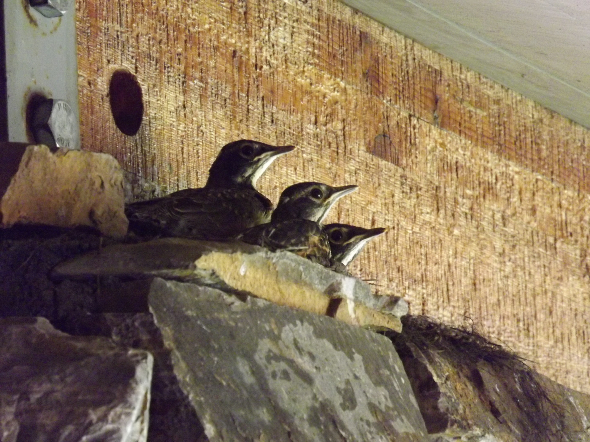 Later the day this picture was taken these baby Robins left the nest for good.
