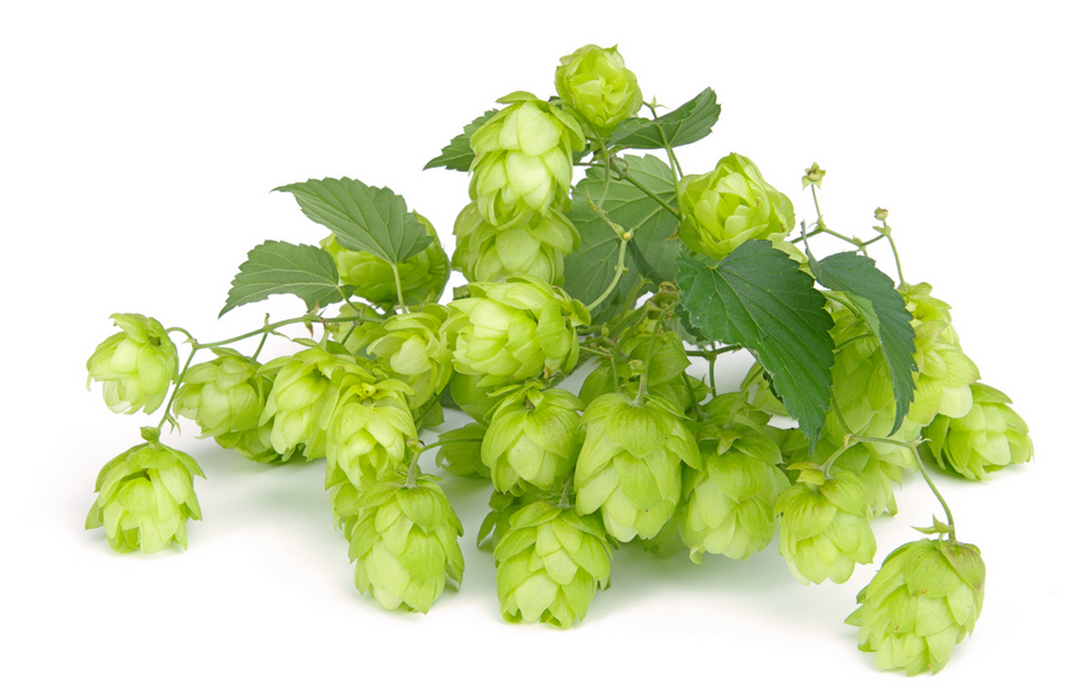 Whole-cone hops.