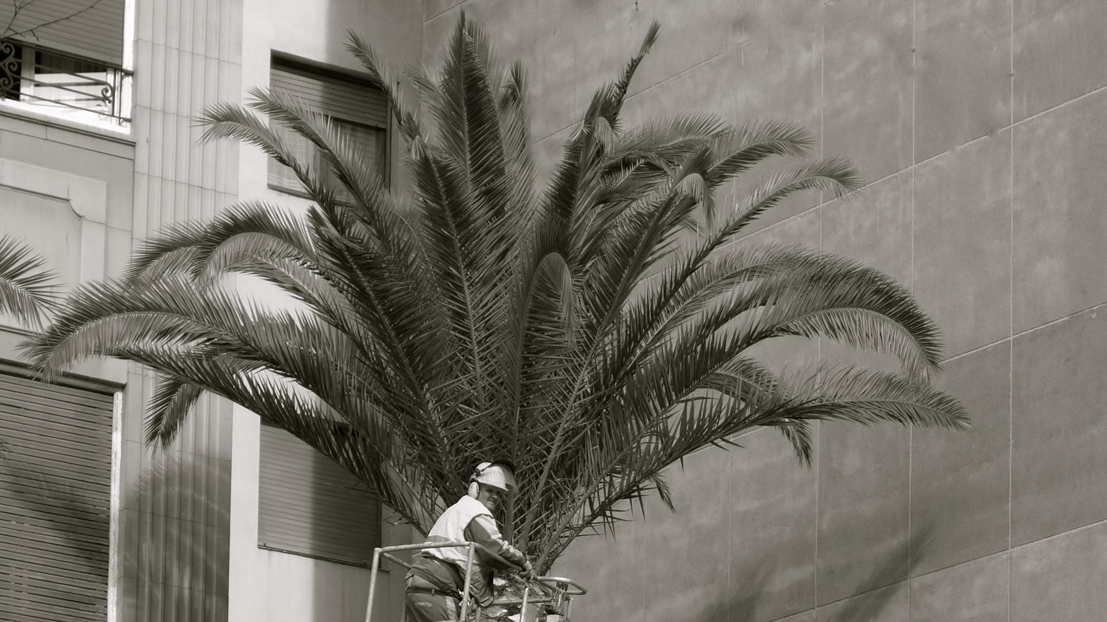 Poda de palmeras - 2
