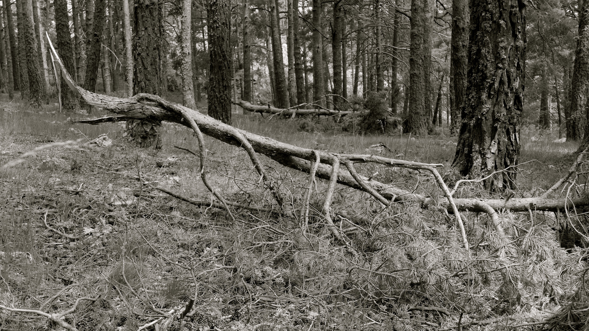 Árbol caído 6
