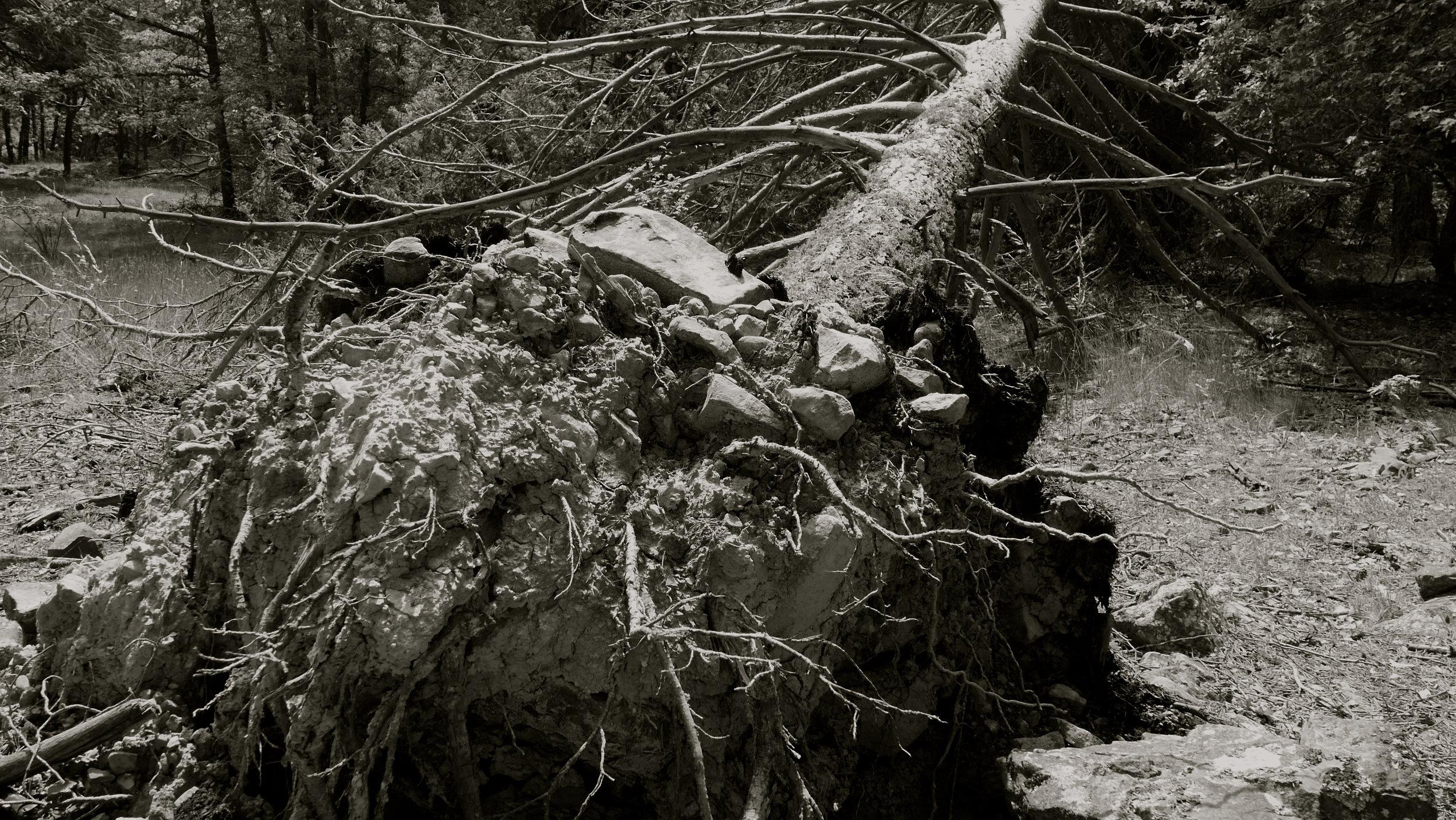 Árbol caído 5