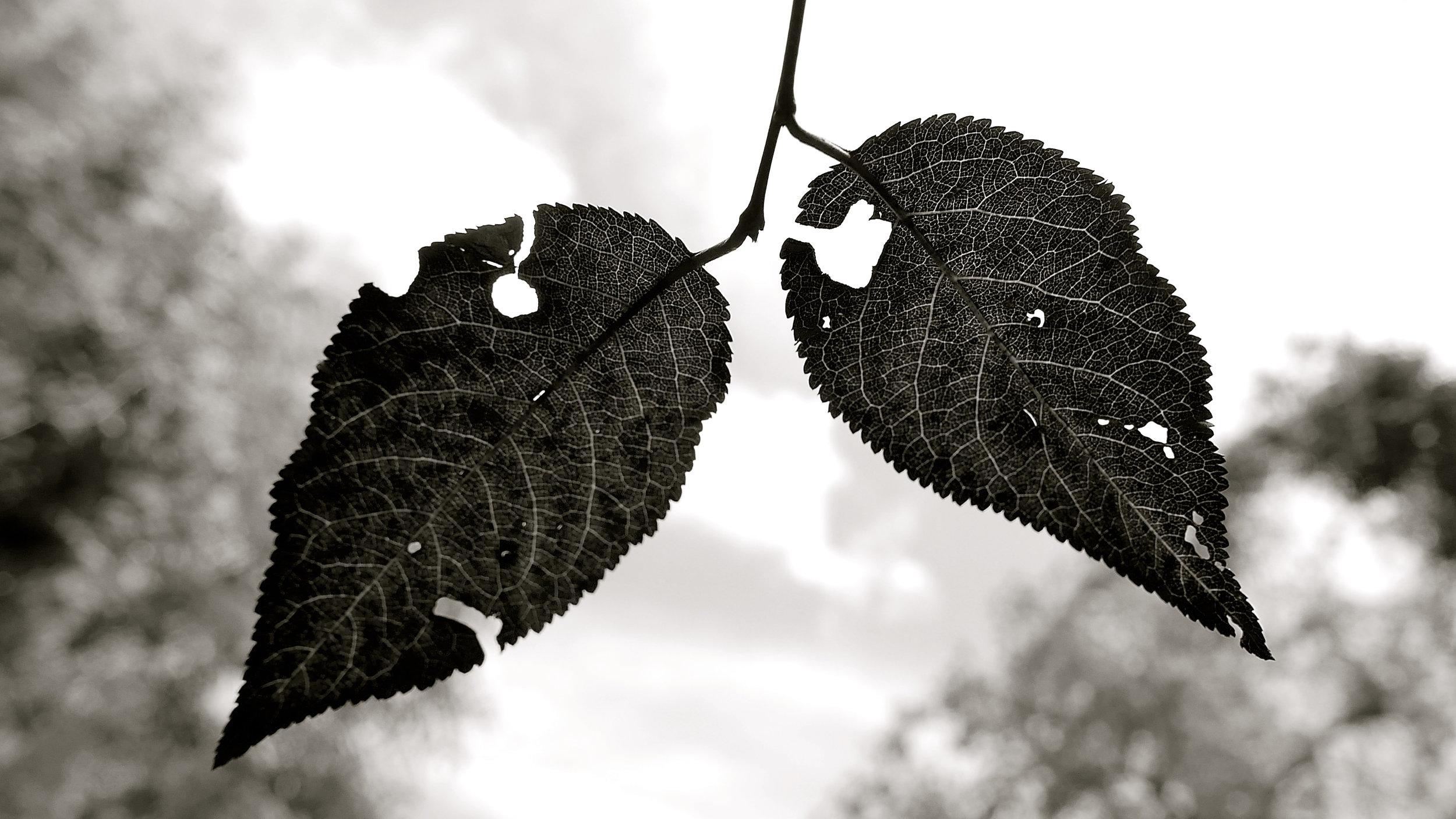 Dos hojas comidas