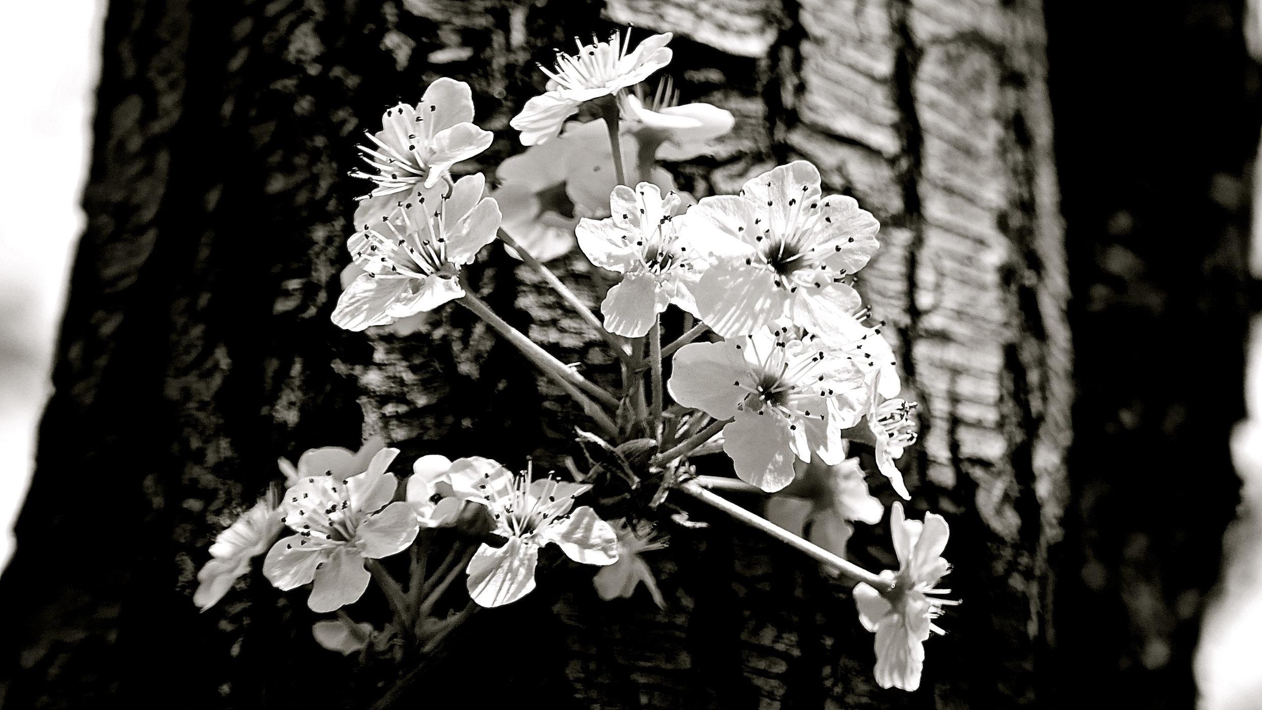 Peral primaveral