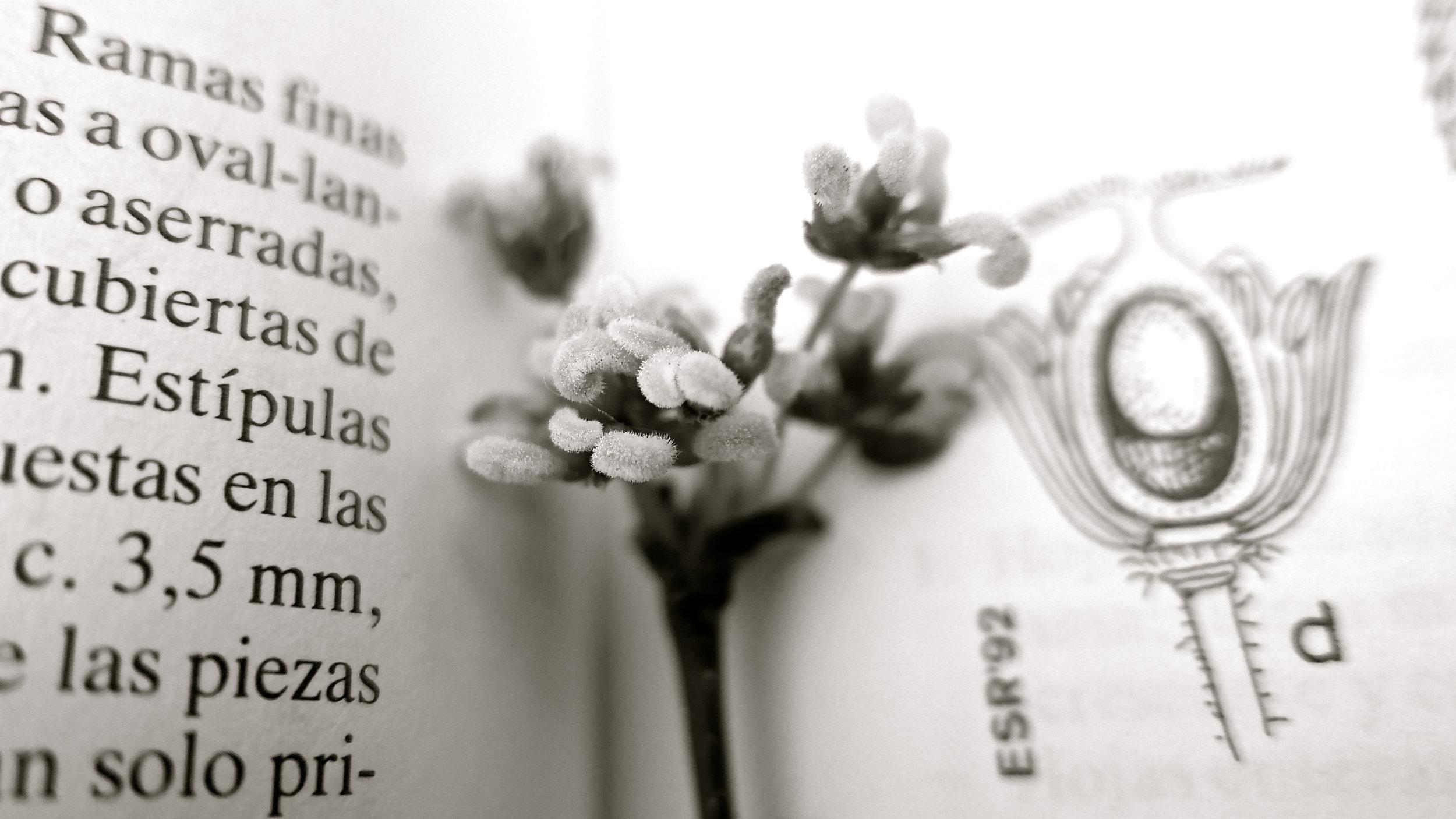 Detalle flor Celtis Australis - 5 nueva