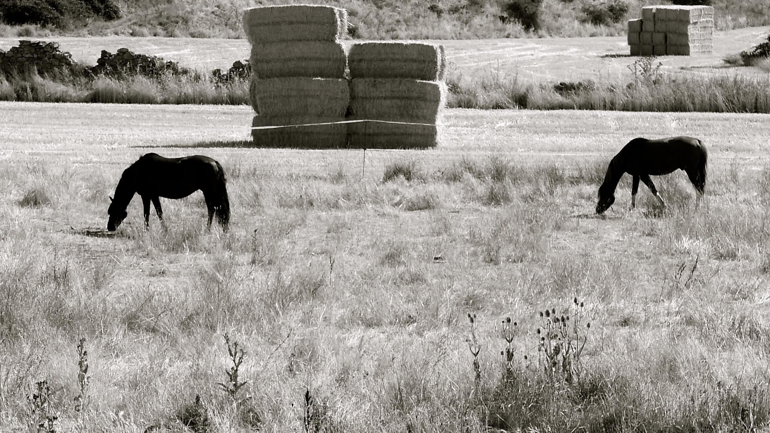 Orihuela del Tremedal - caballos