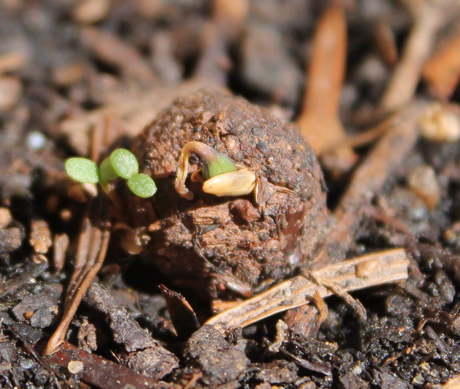 Sprouting Seedball.jpg
