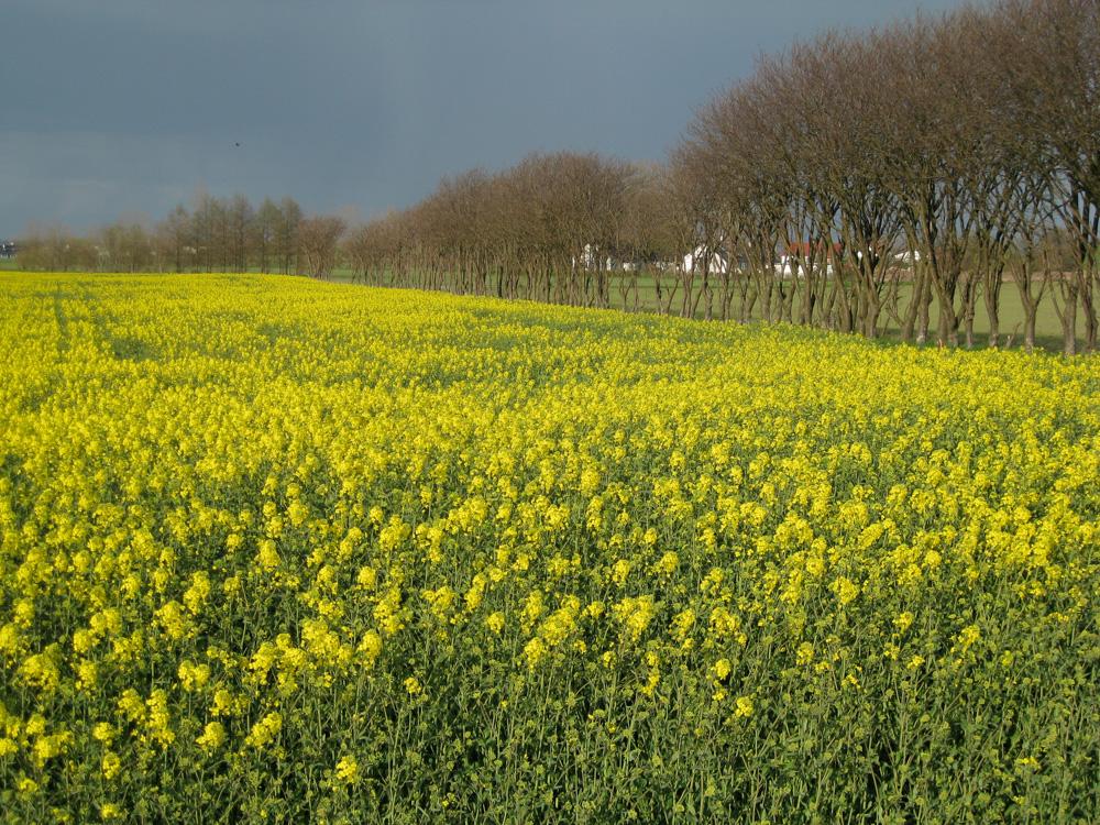 Rapeseed field inSkåne