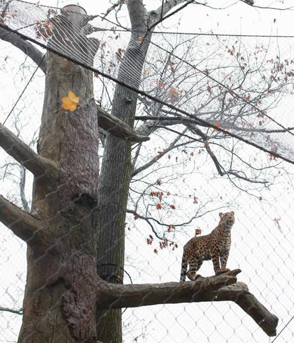 One of the leopard brothers checked out his new perch.