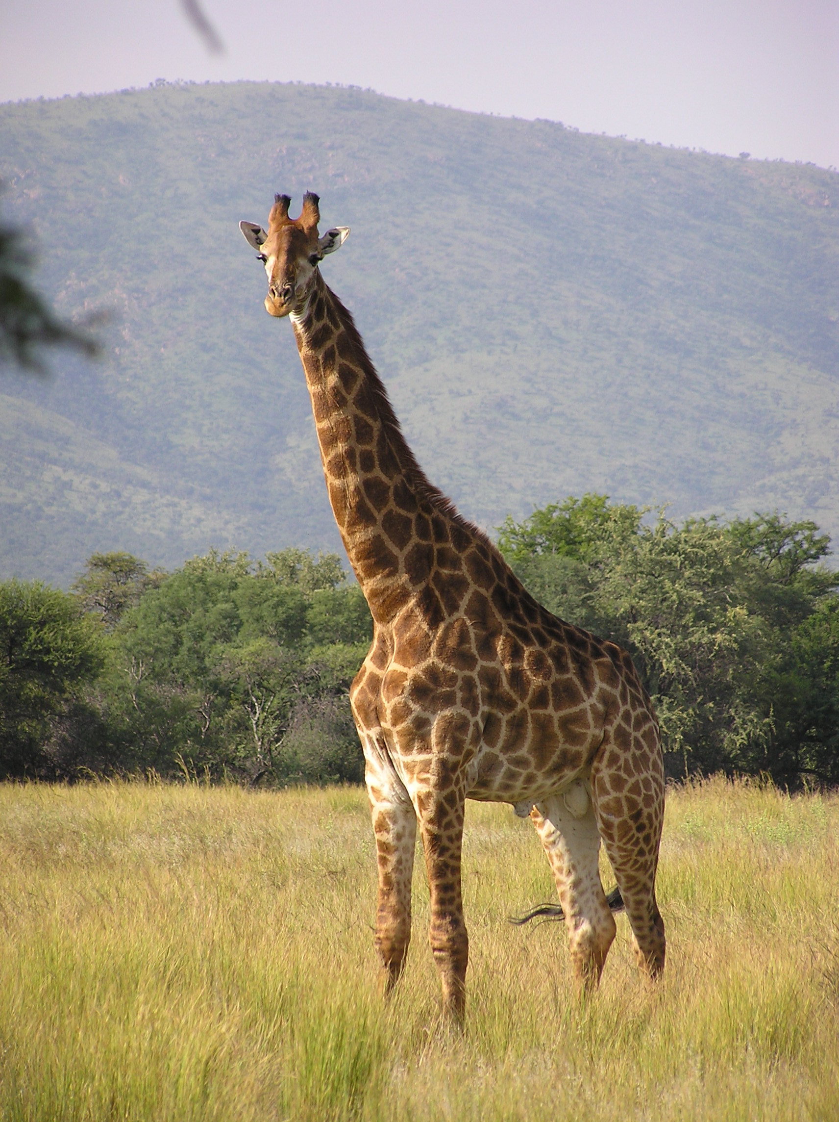 I am willing to bet that Giraffe's have a really hard time not stabilizing with their necks