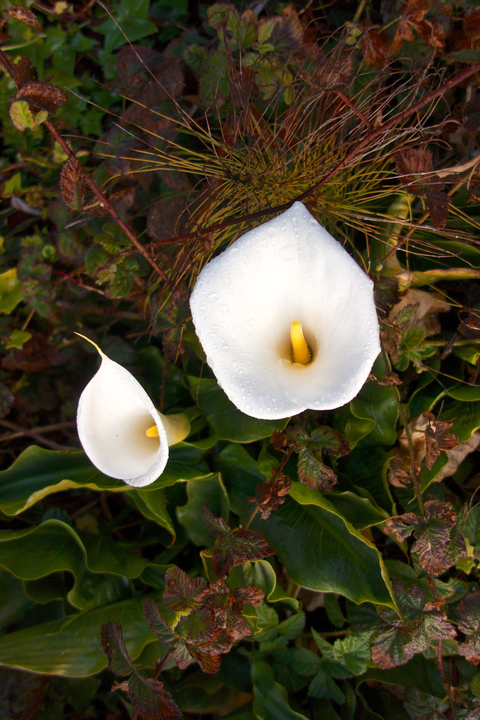 → Calla Lilies lined the path down to the beach.