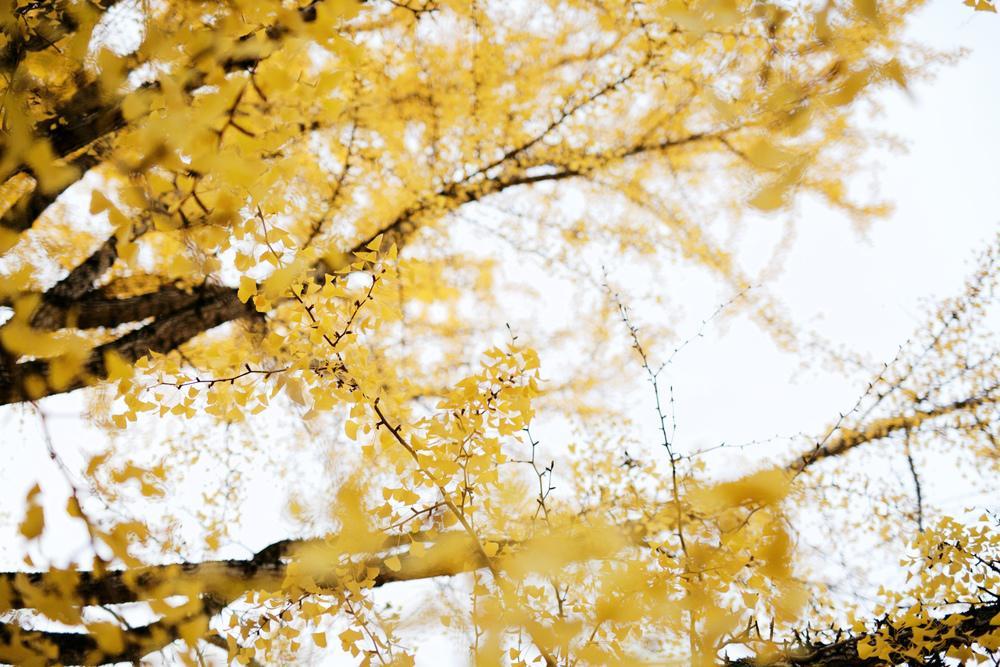 [www.emmakmorris.com]_0da1_FallGingko+1760.jpeg