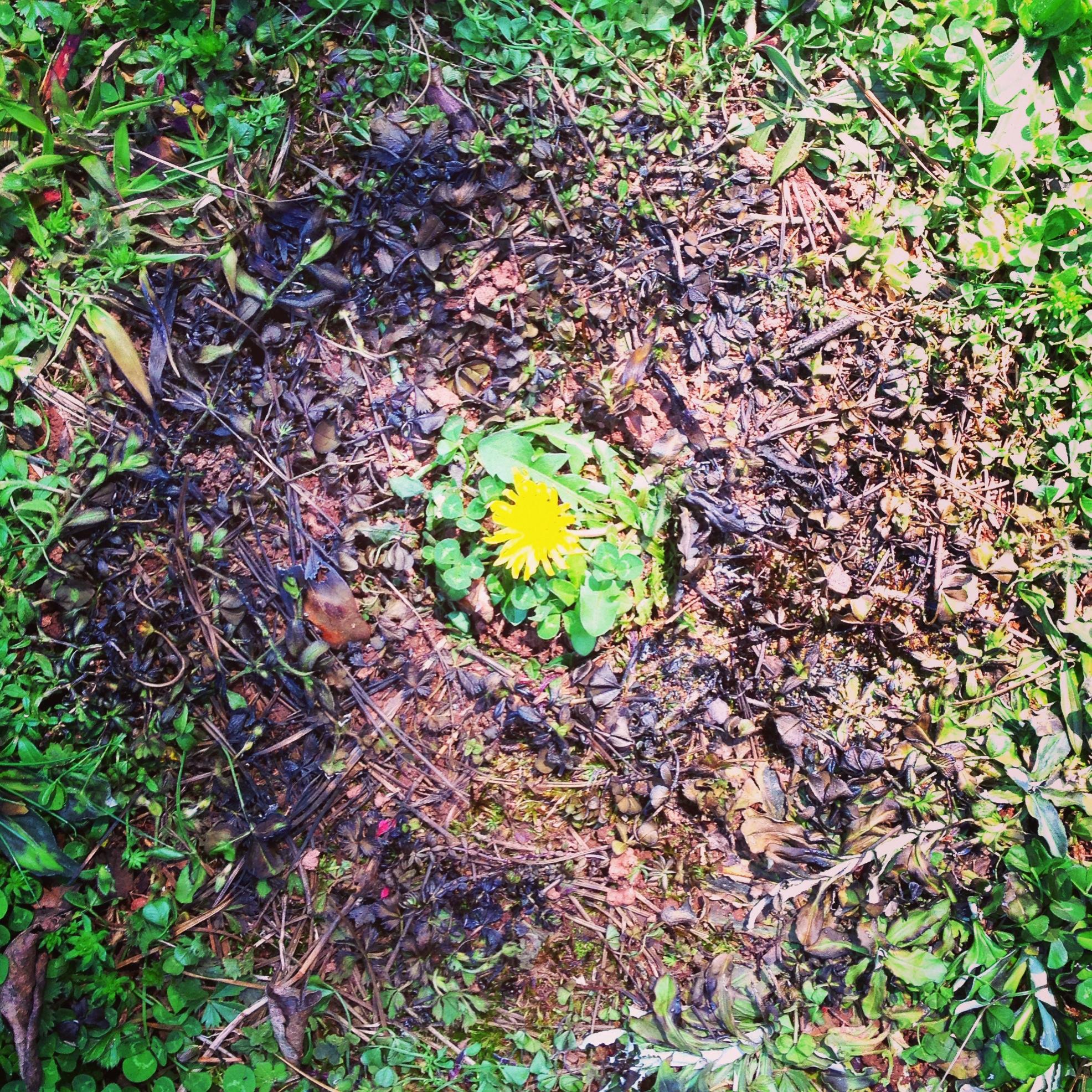 Dandelion inside burnt grass. Athens, GA. Summer 2013