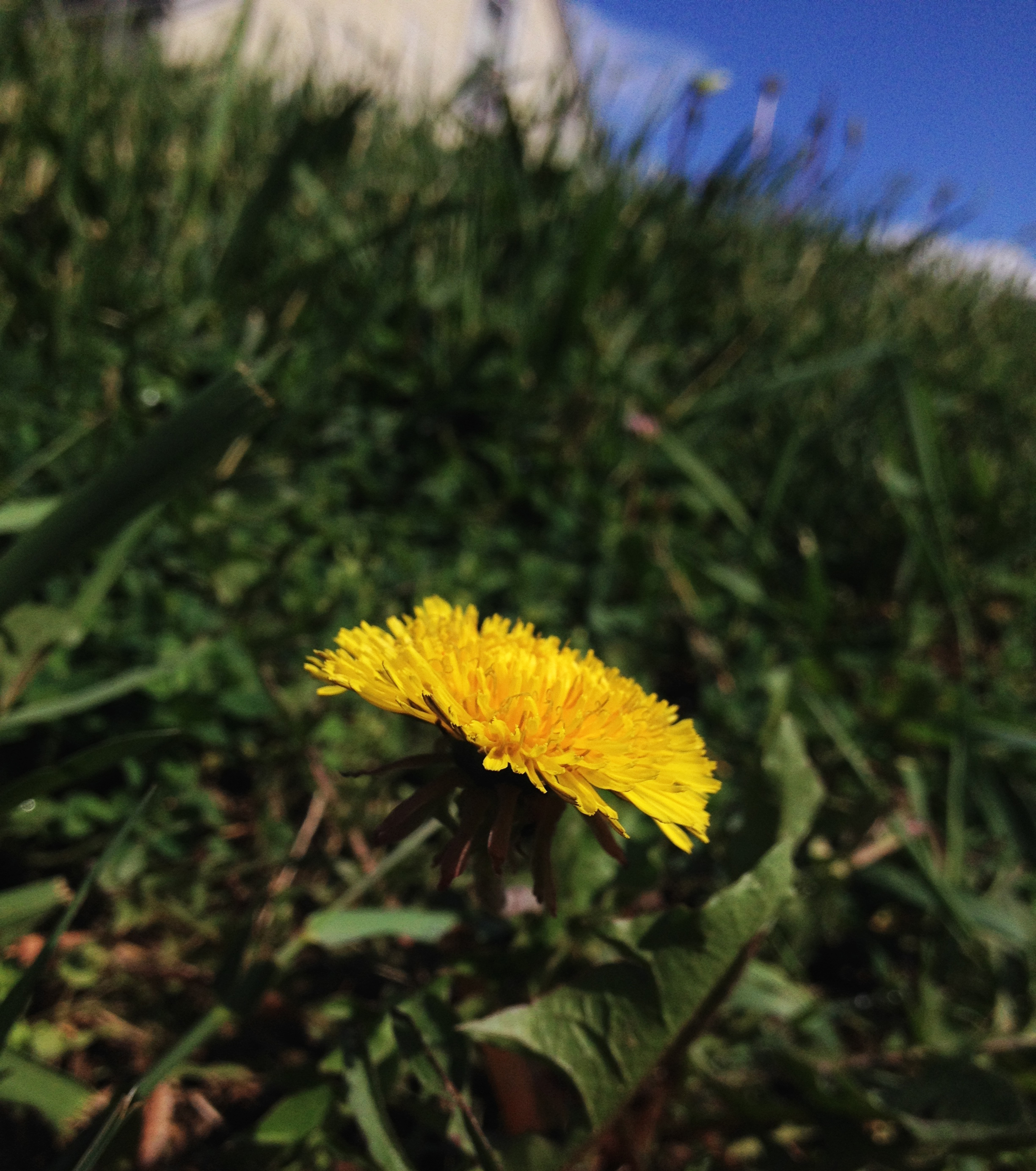 As much fun as they are as a kid, dandelions are no good for your yard!