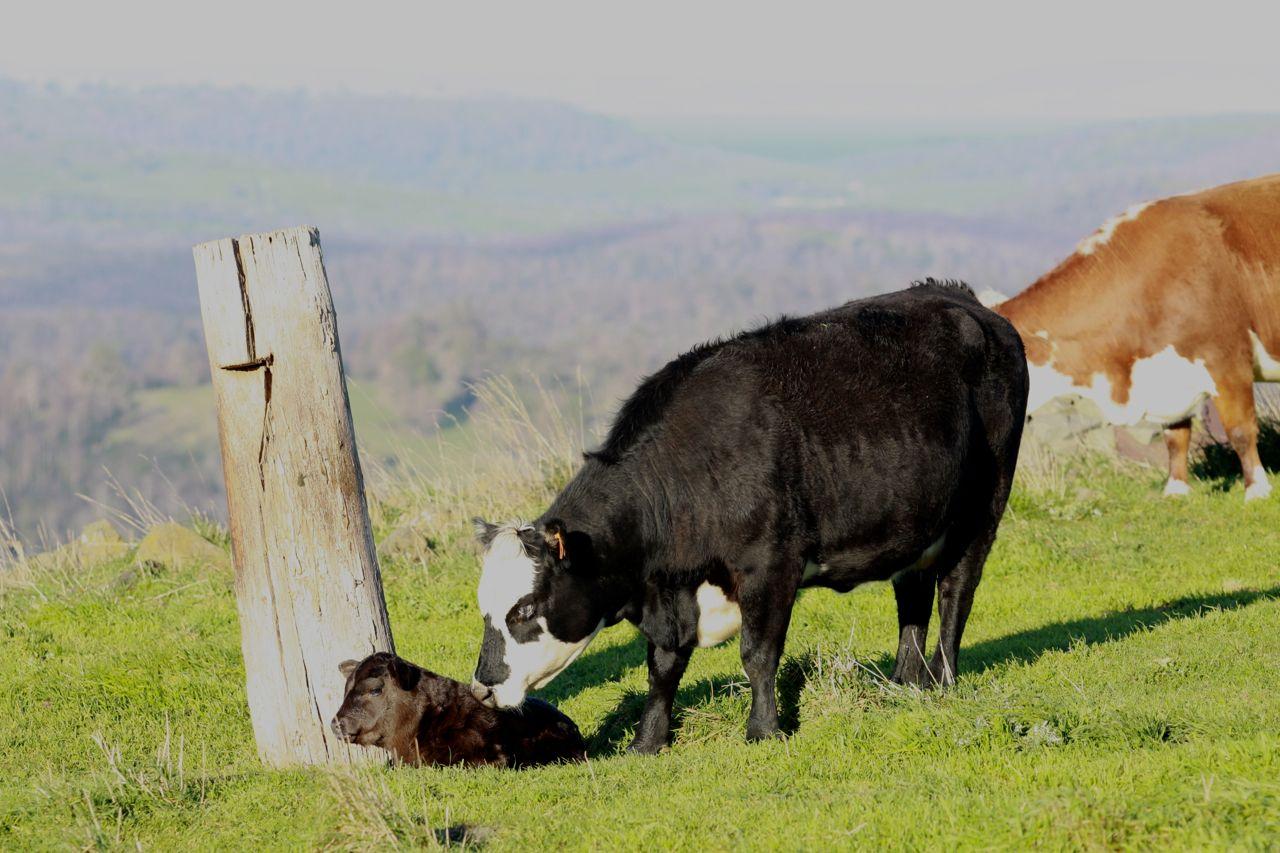 Mum and calf bonding in the paddock.