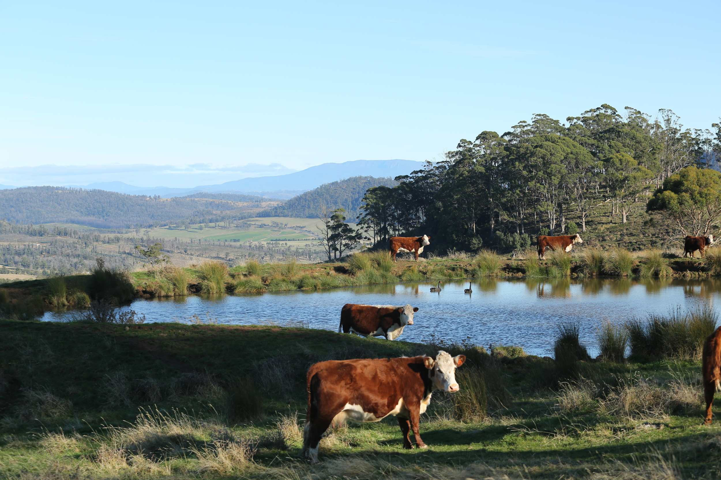 Cows in perennial pasture