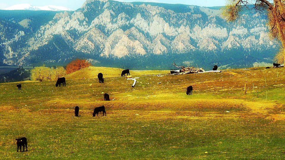 Cattle in the north field