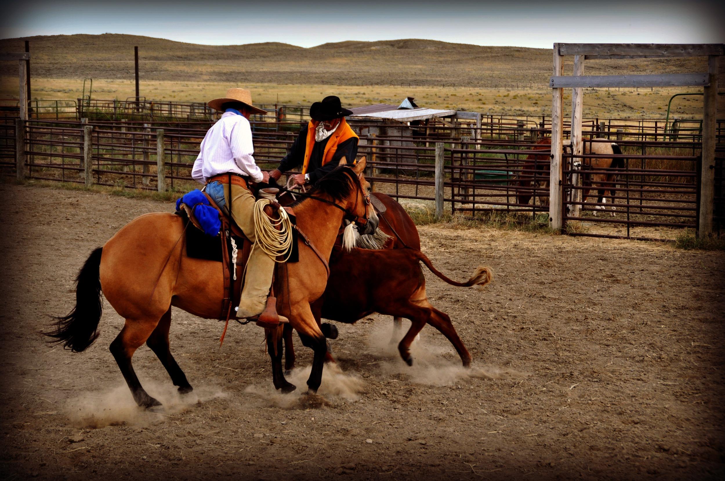 Chasing Cows.jpg