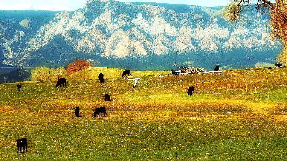 Cows and Big Horns.jpg