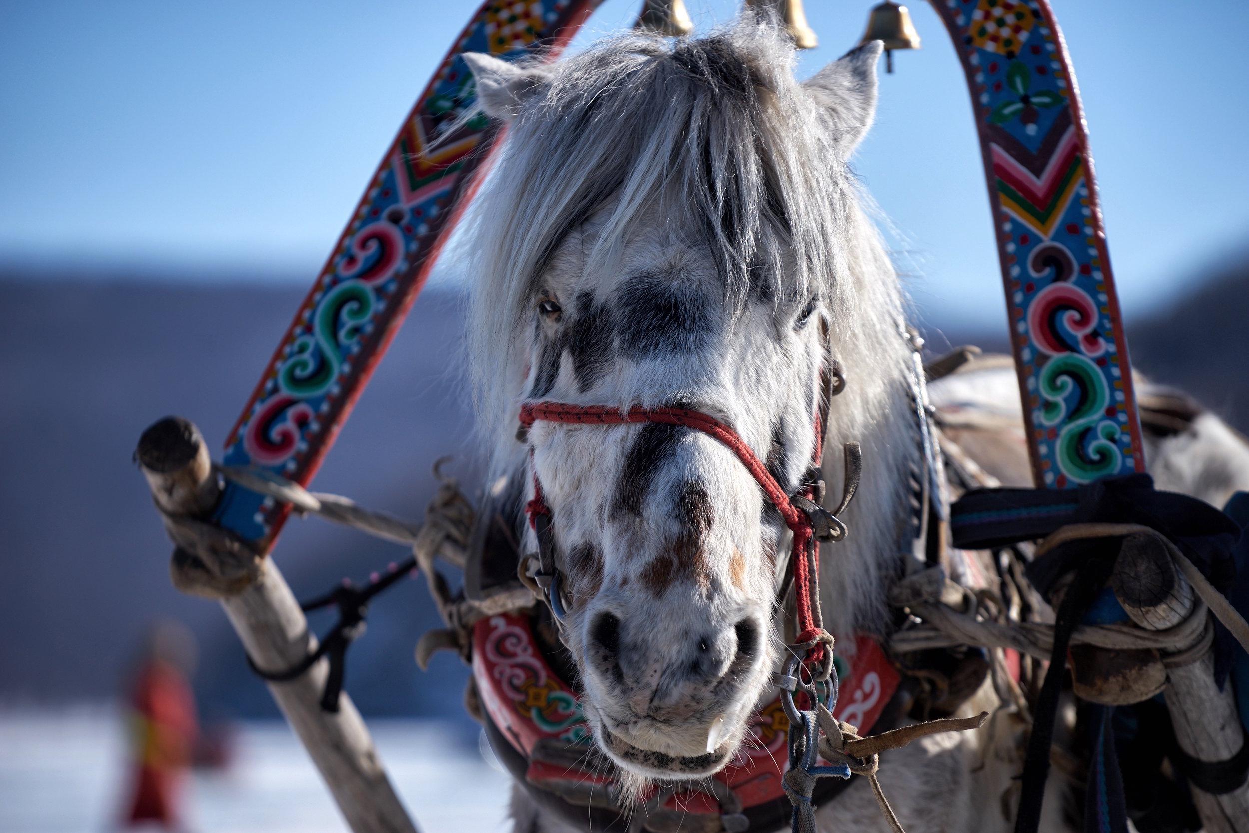 khasar_S_HorseSleigh_Huvsgul_Mongolia_Winter_2015.jpg