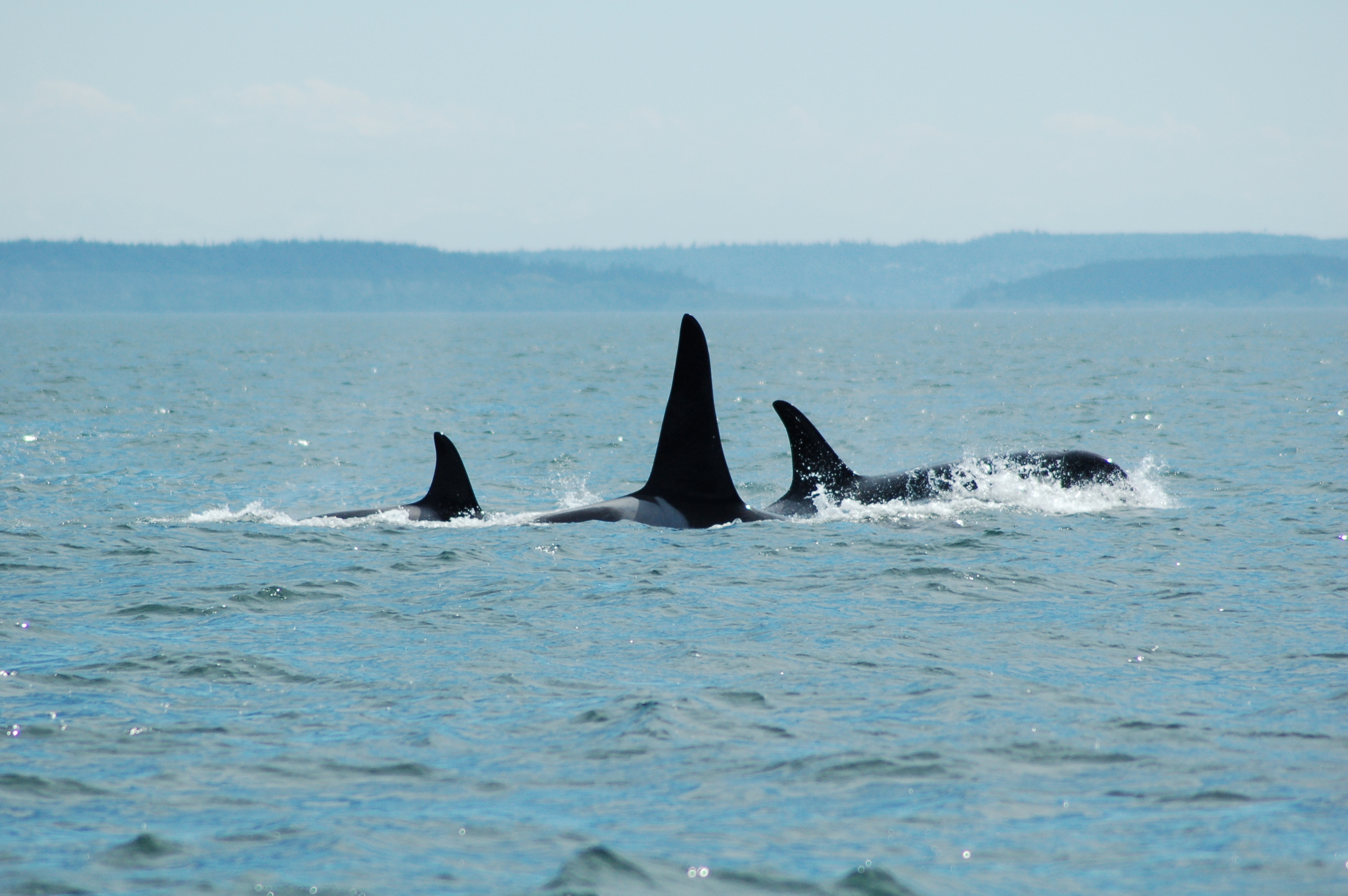 Killer Whales ( Orcinus orca ), Victoria, Canada      photo credit: Caroline Good