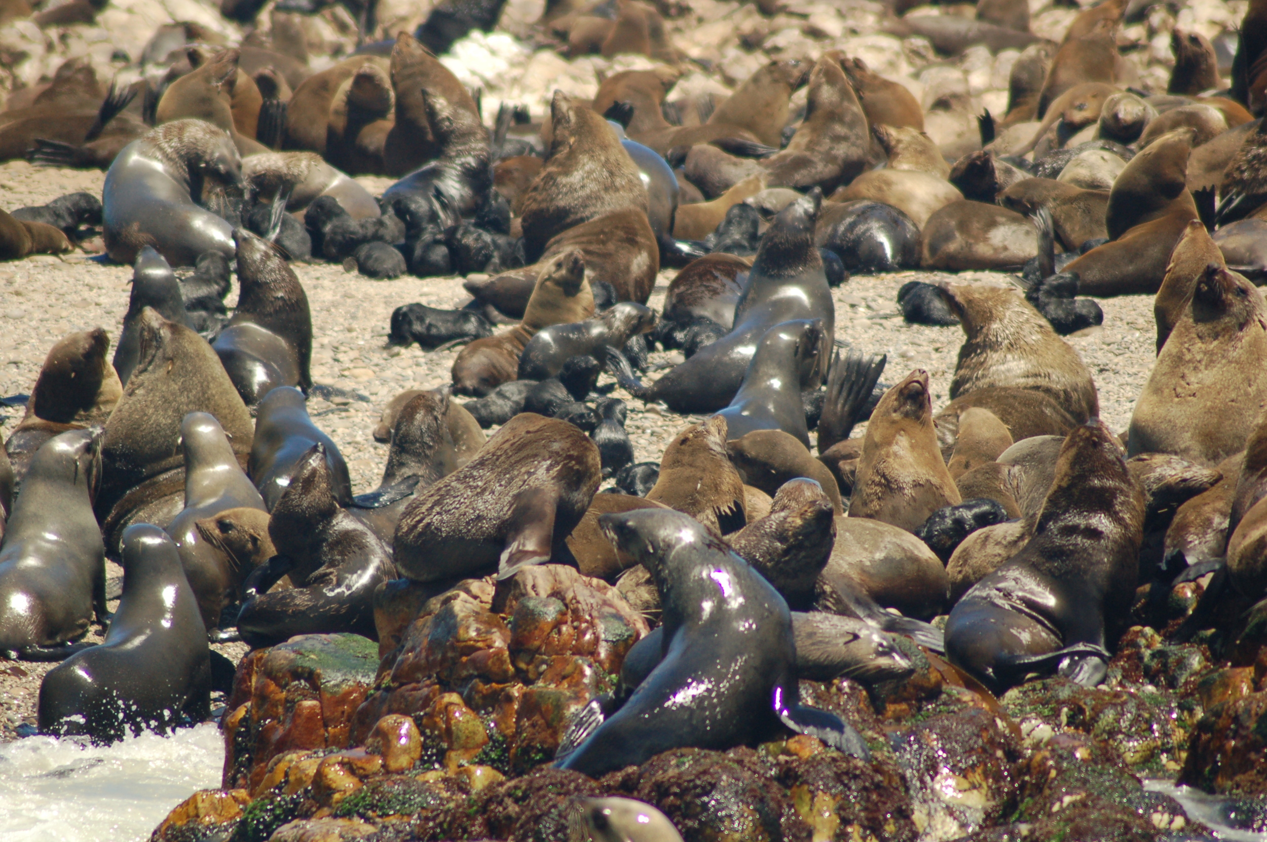 Cape Fur Seals  (  Arctocephalus pusillus  ) , South Africa  photo credit: Caroline Good