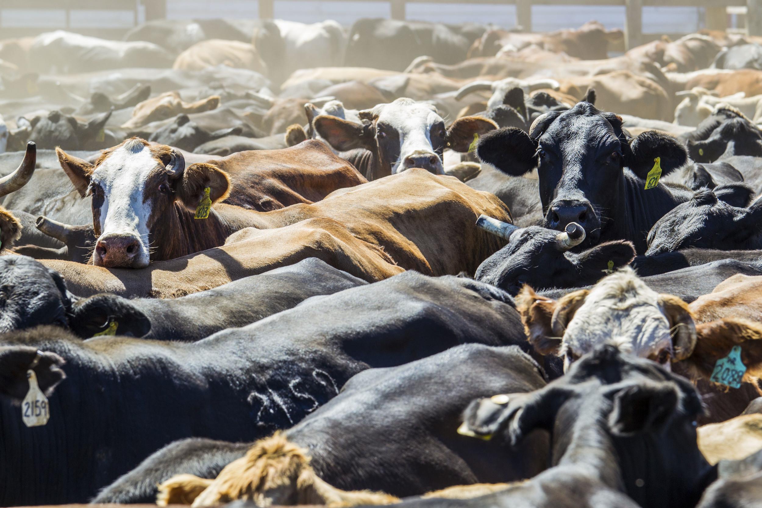 Cattle in Pen KAC5508.jpg