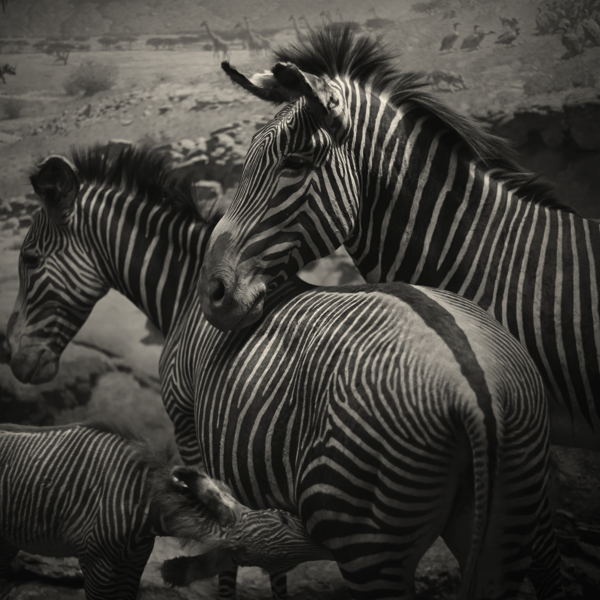 2013_July_NYC_Diorama_235_Zebra.jpg