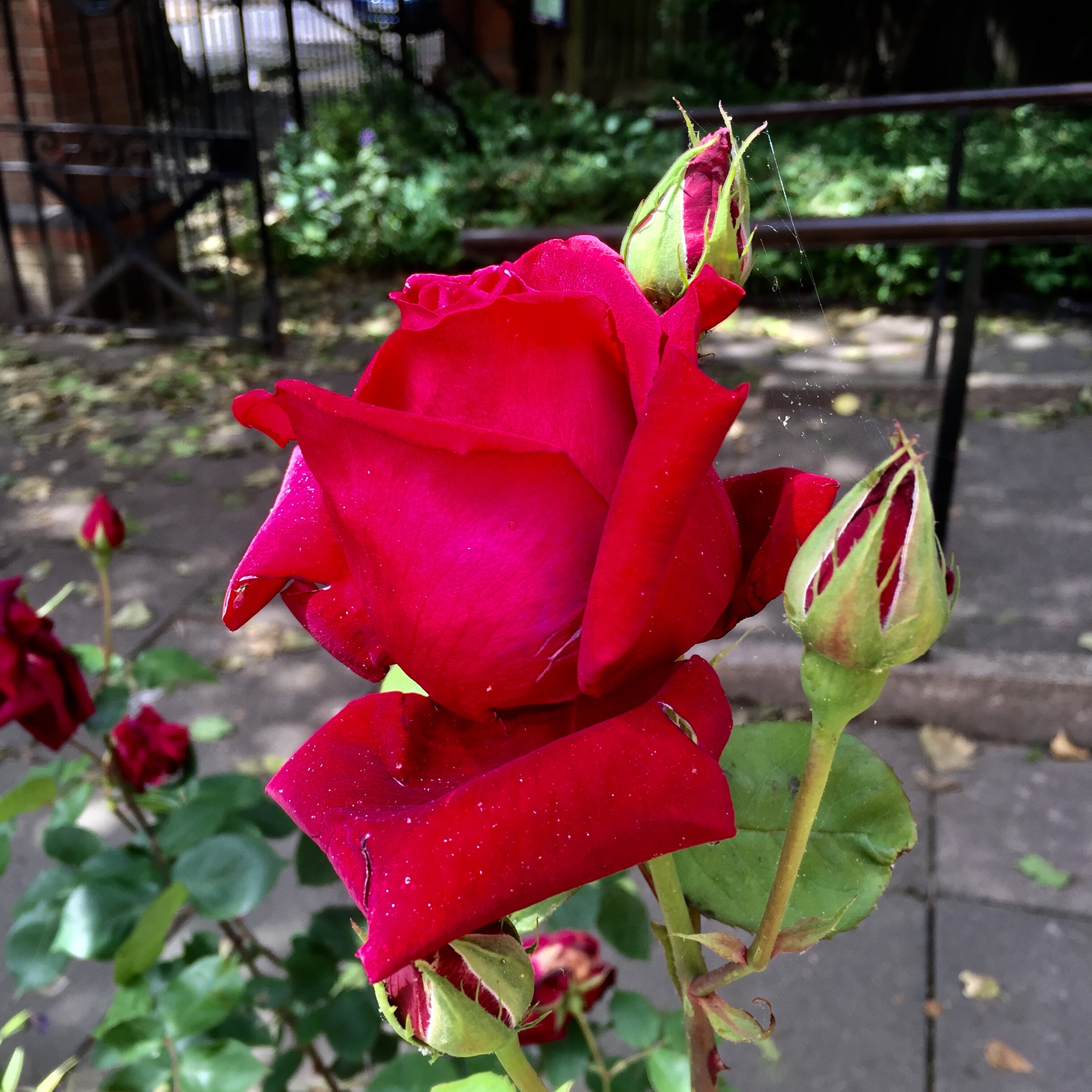 Our family loved roses, our garden way back, was alive with them.