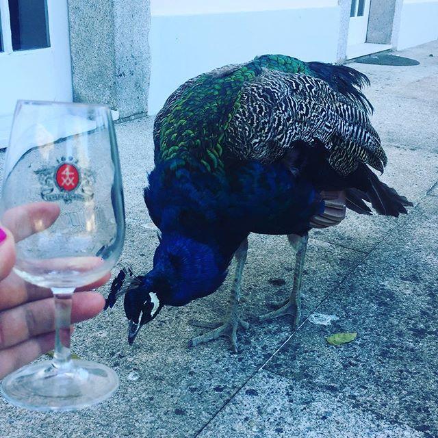 Peacocking in Porto.