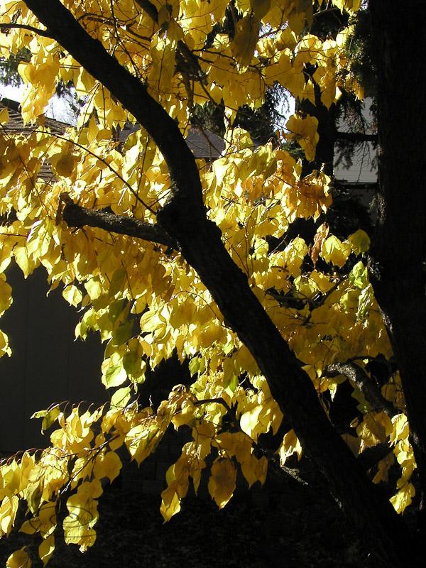 apricot tree fall-1.jpg