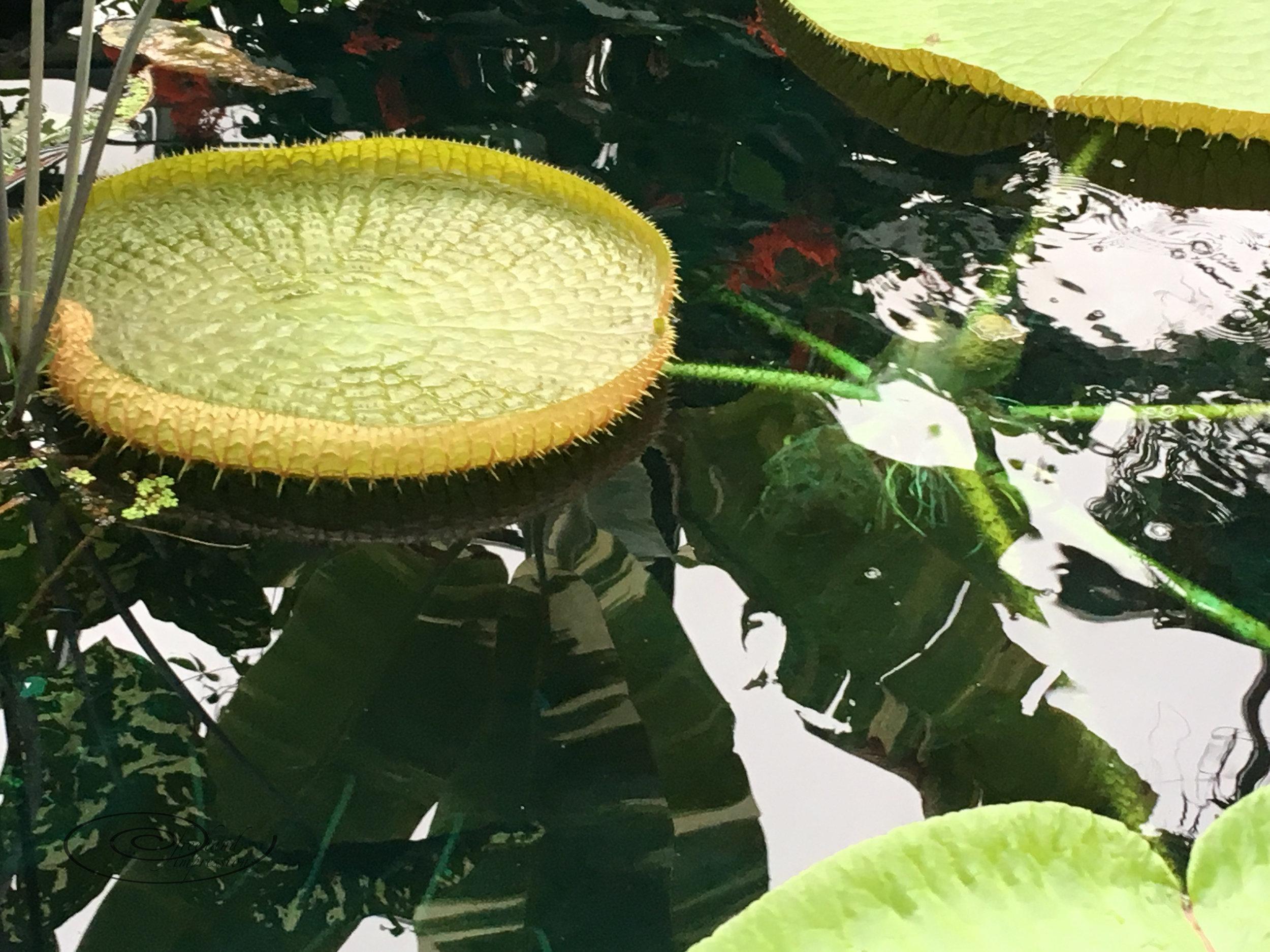 amazon lily pads-1.jpg