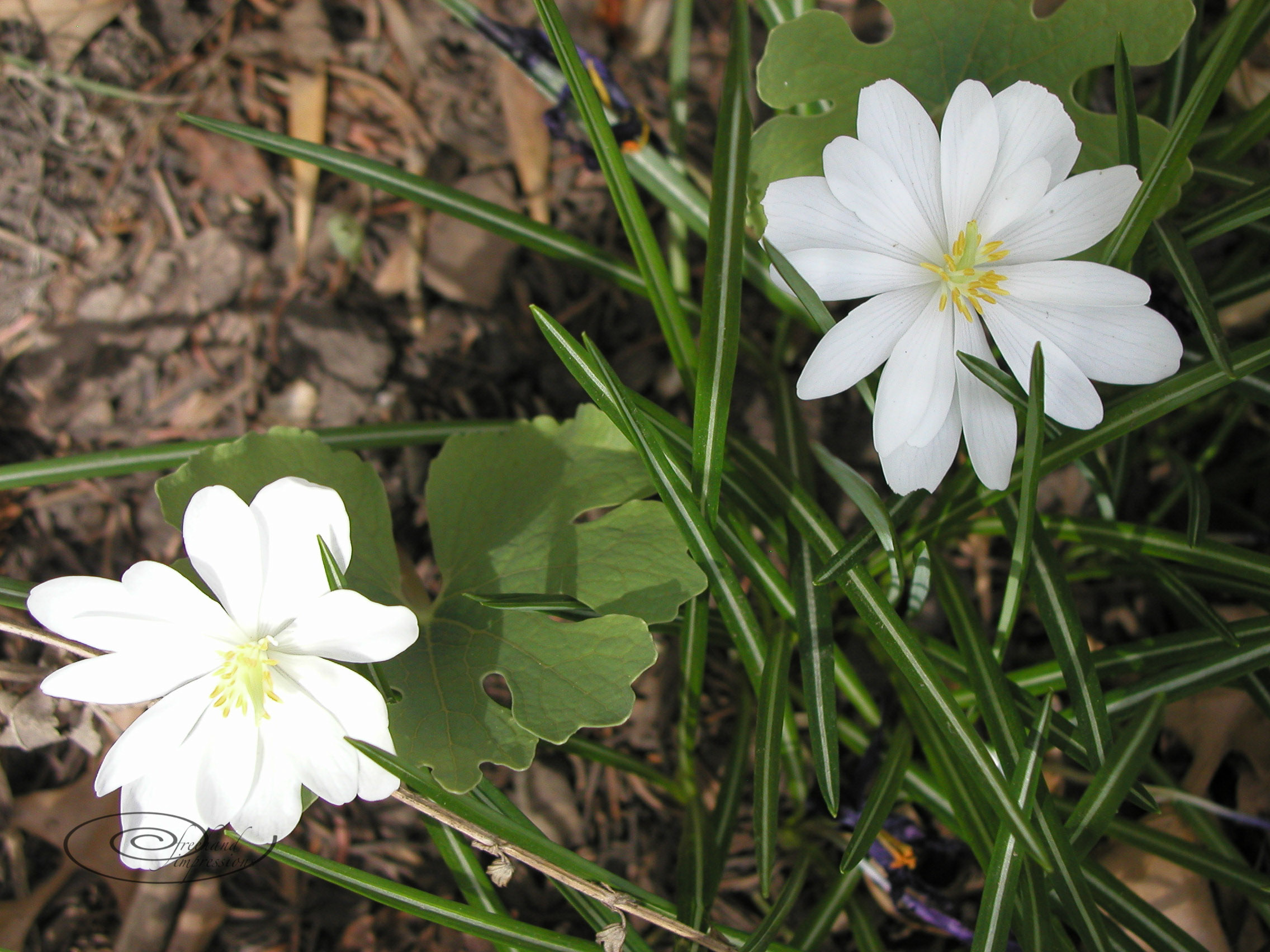 blood root-1.jpg