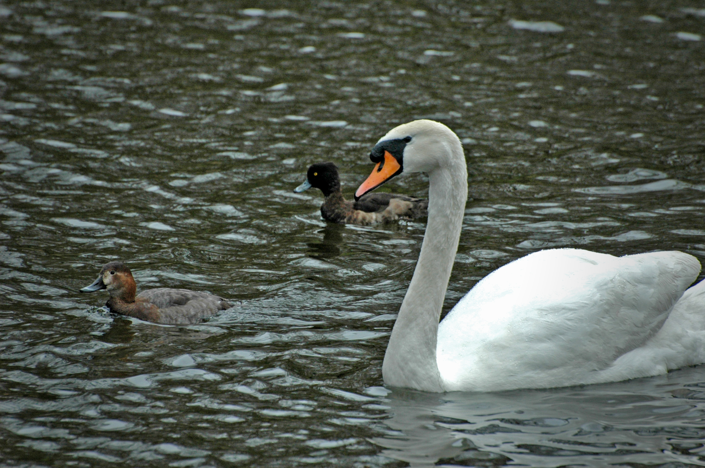 Swan and ducks