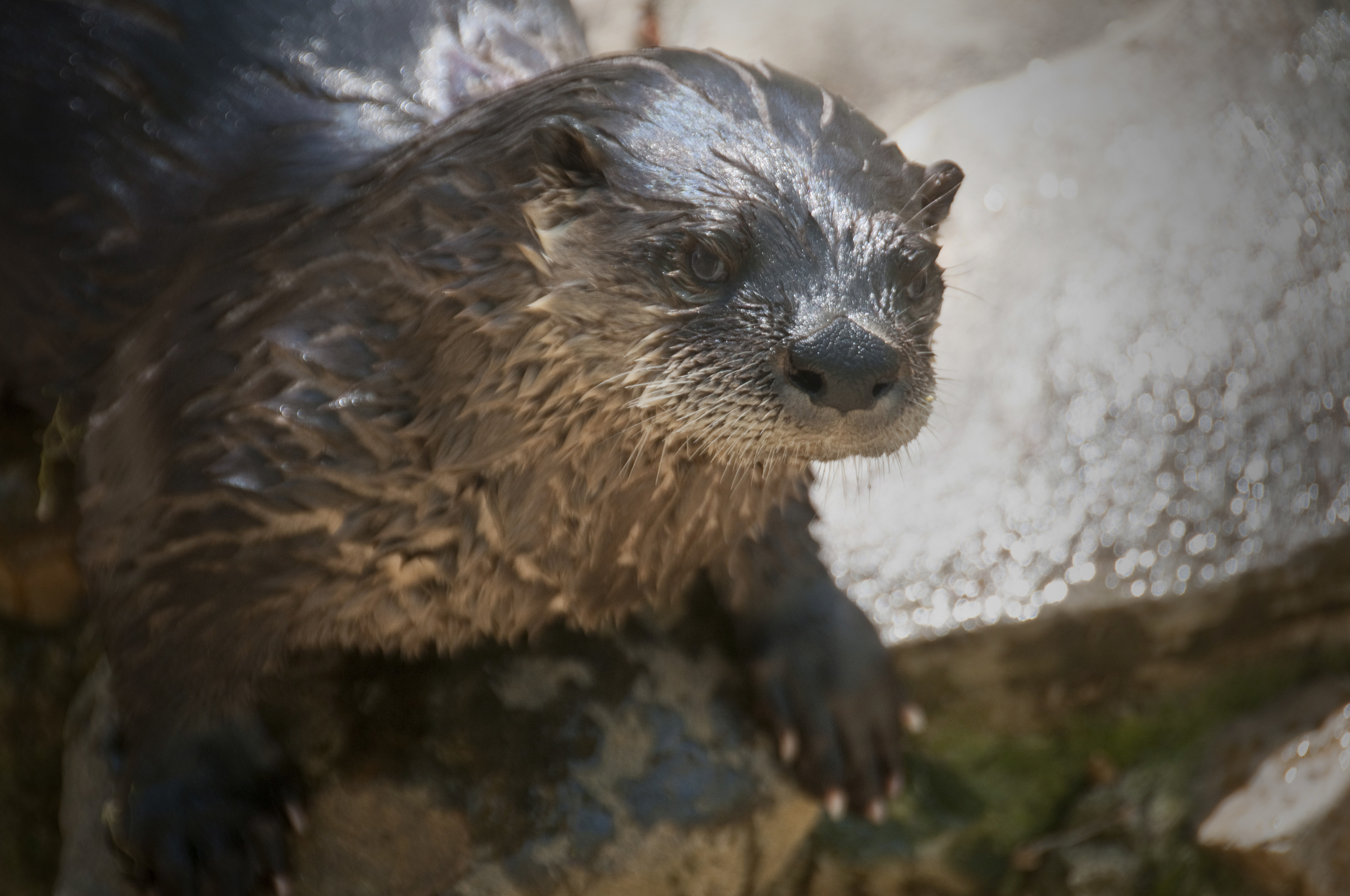 Otter at Brandywine Zoo