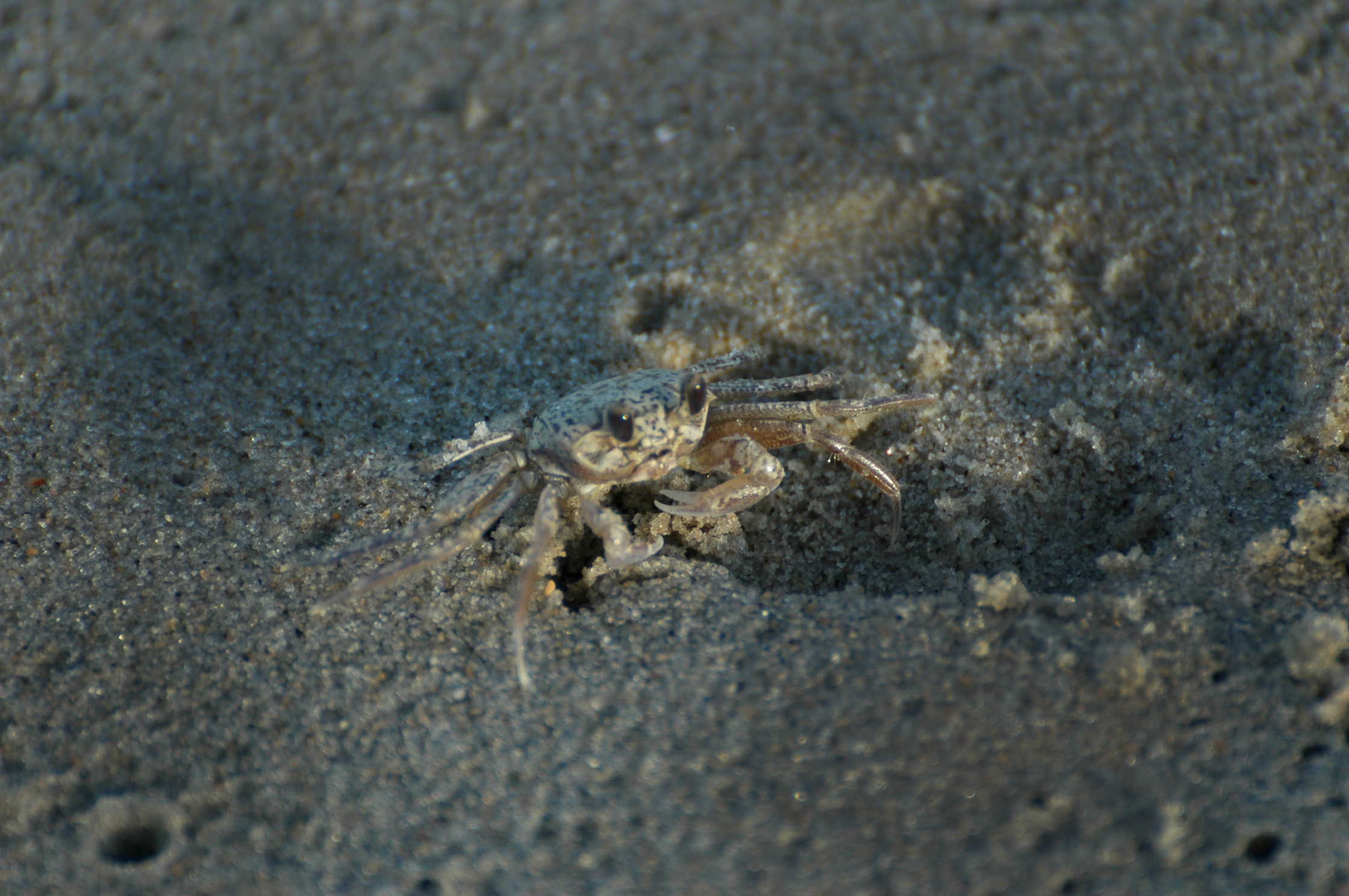 Outer Banks sand crab