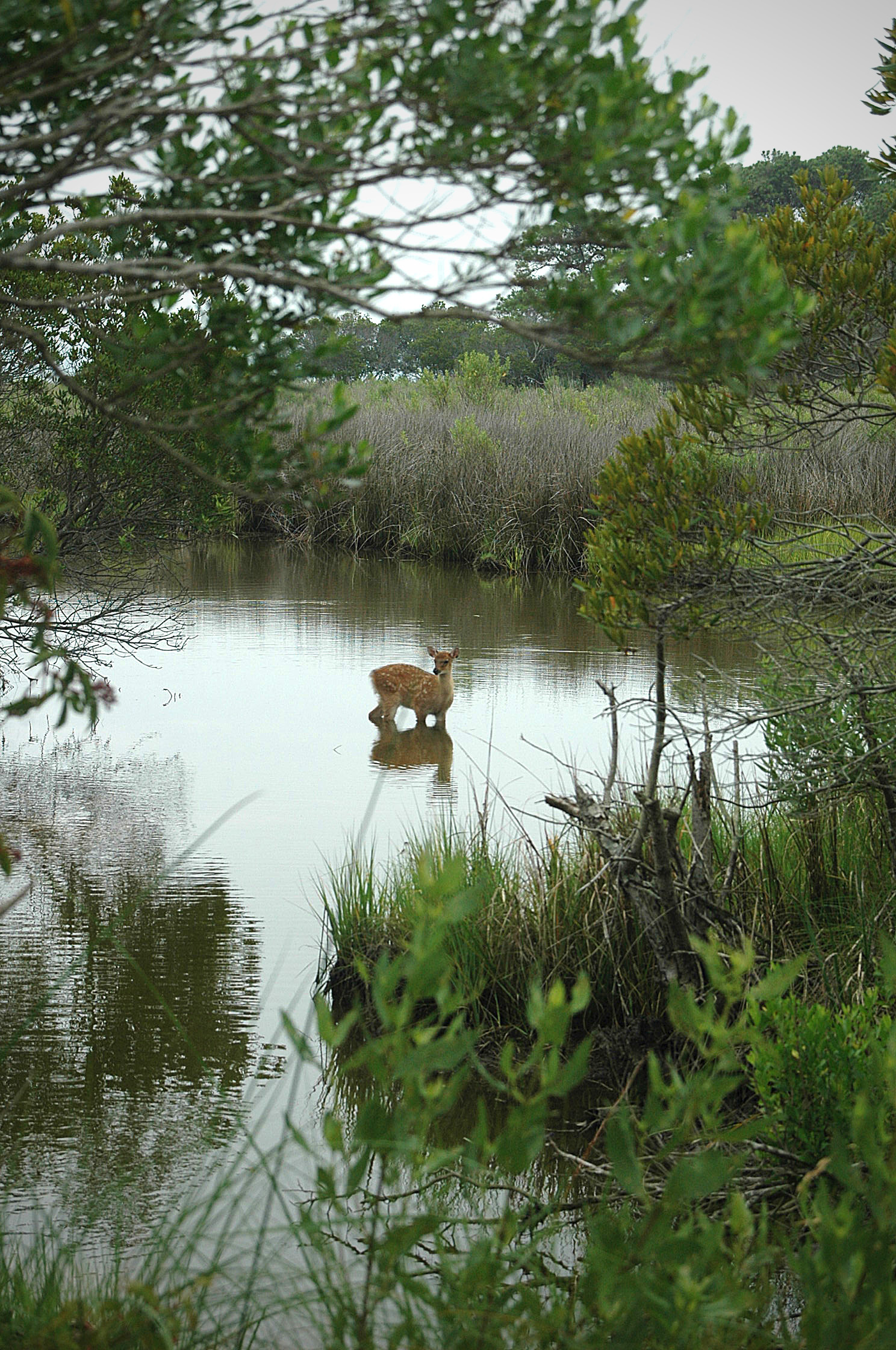 fawn in pond