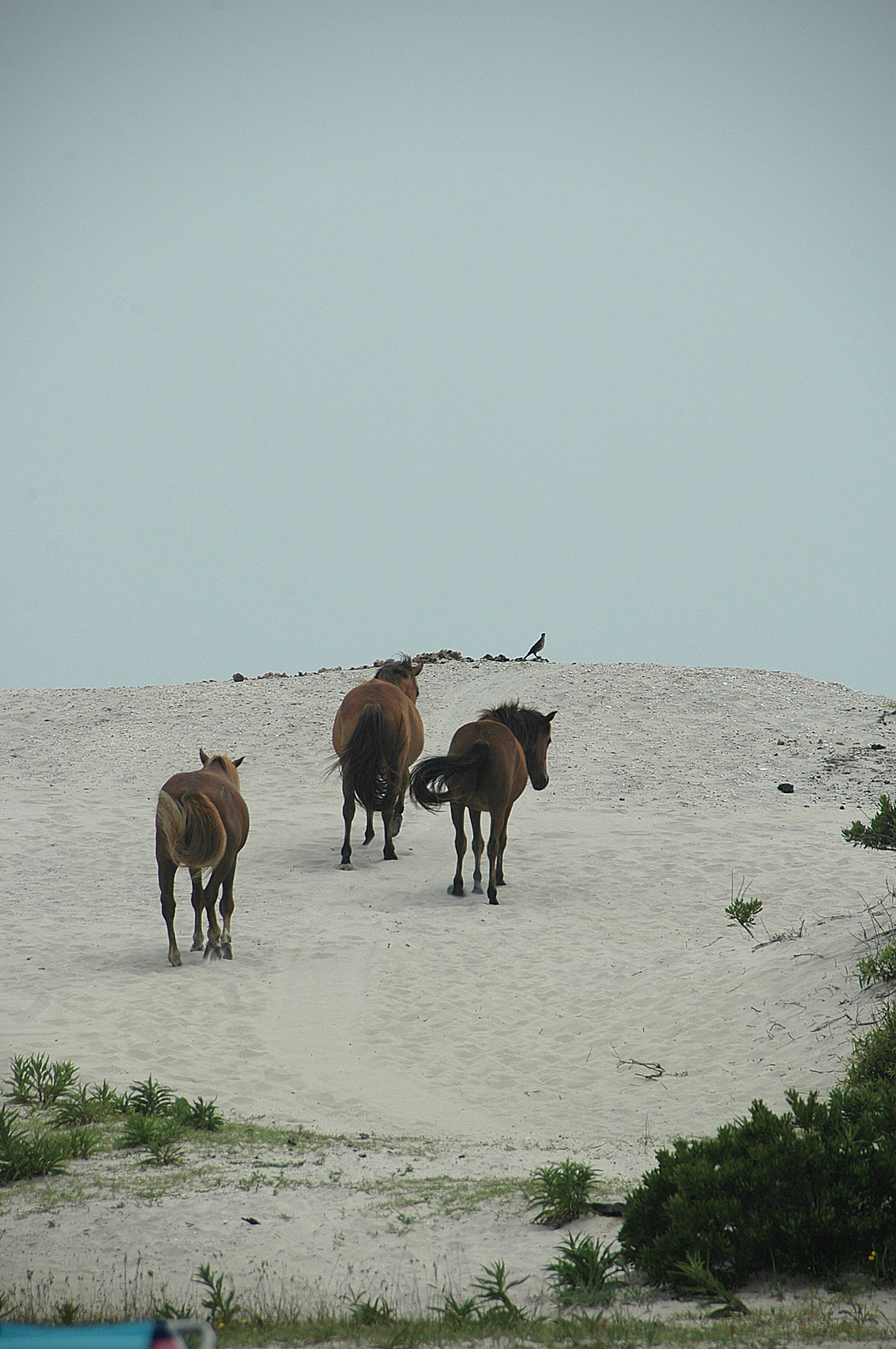 2 Assateague wild ponies mount the dune