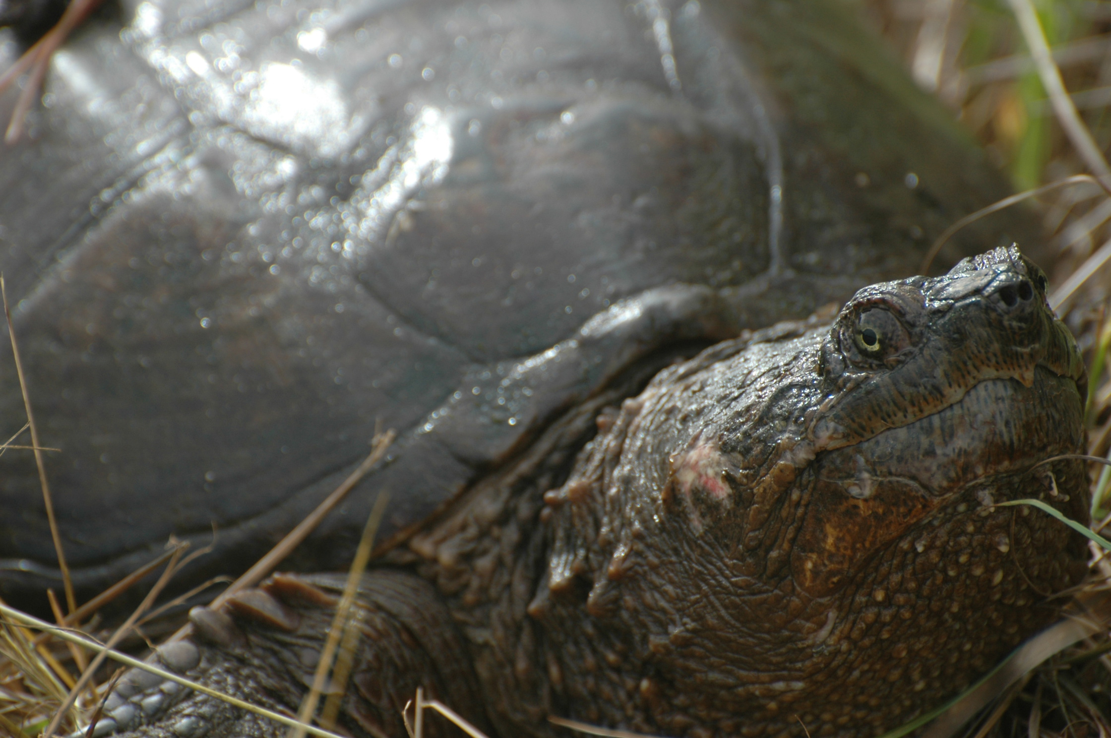huge snapping turtle