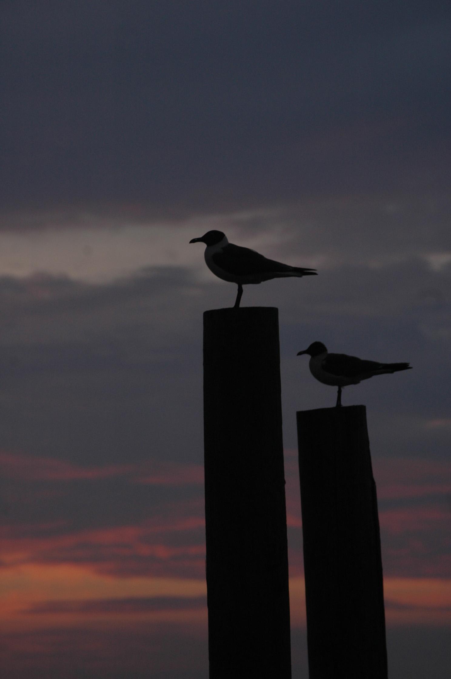 gulls at night