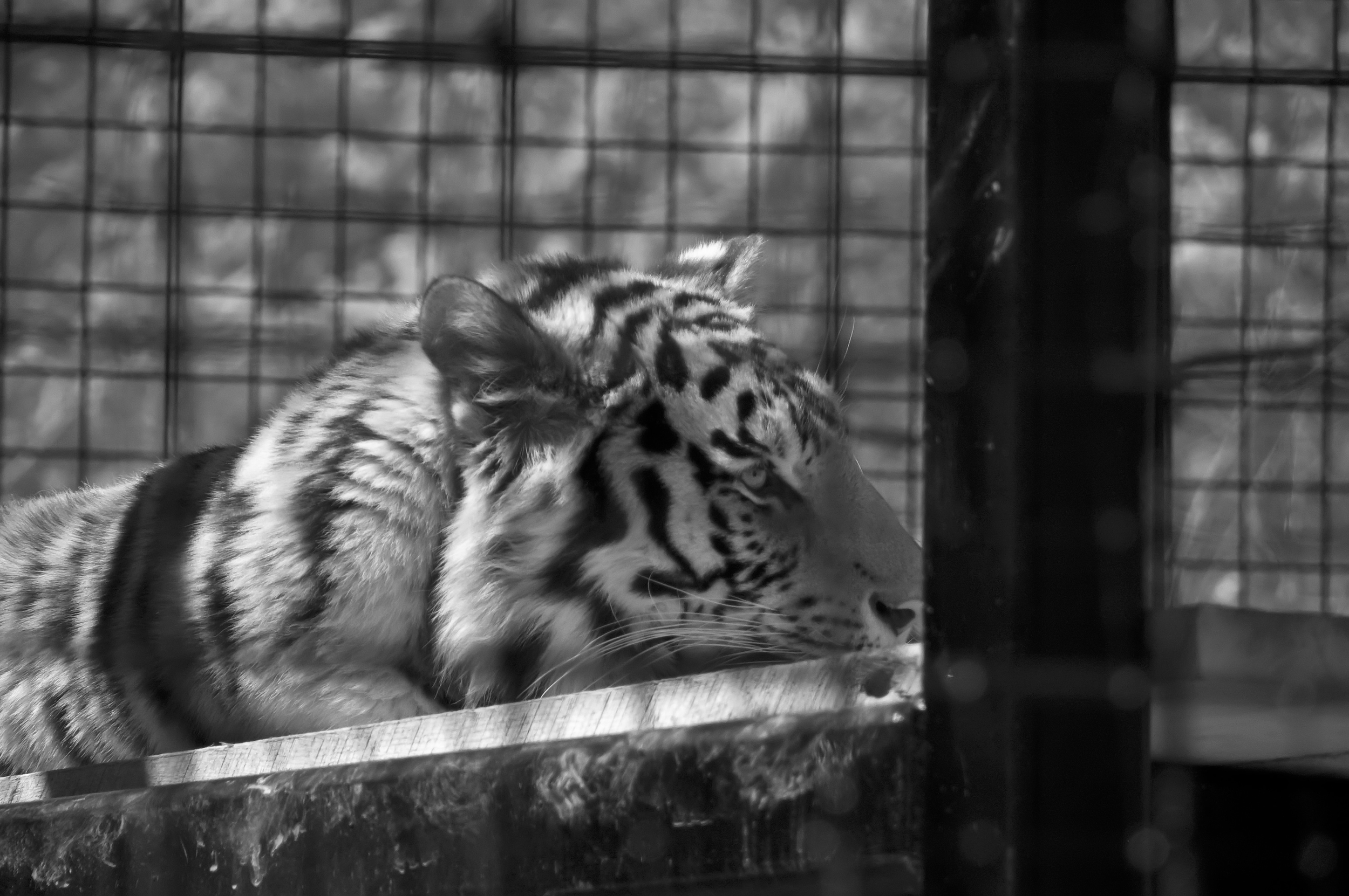 Tiger at Brandywine Zoo