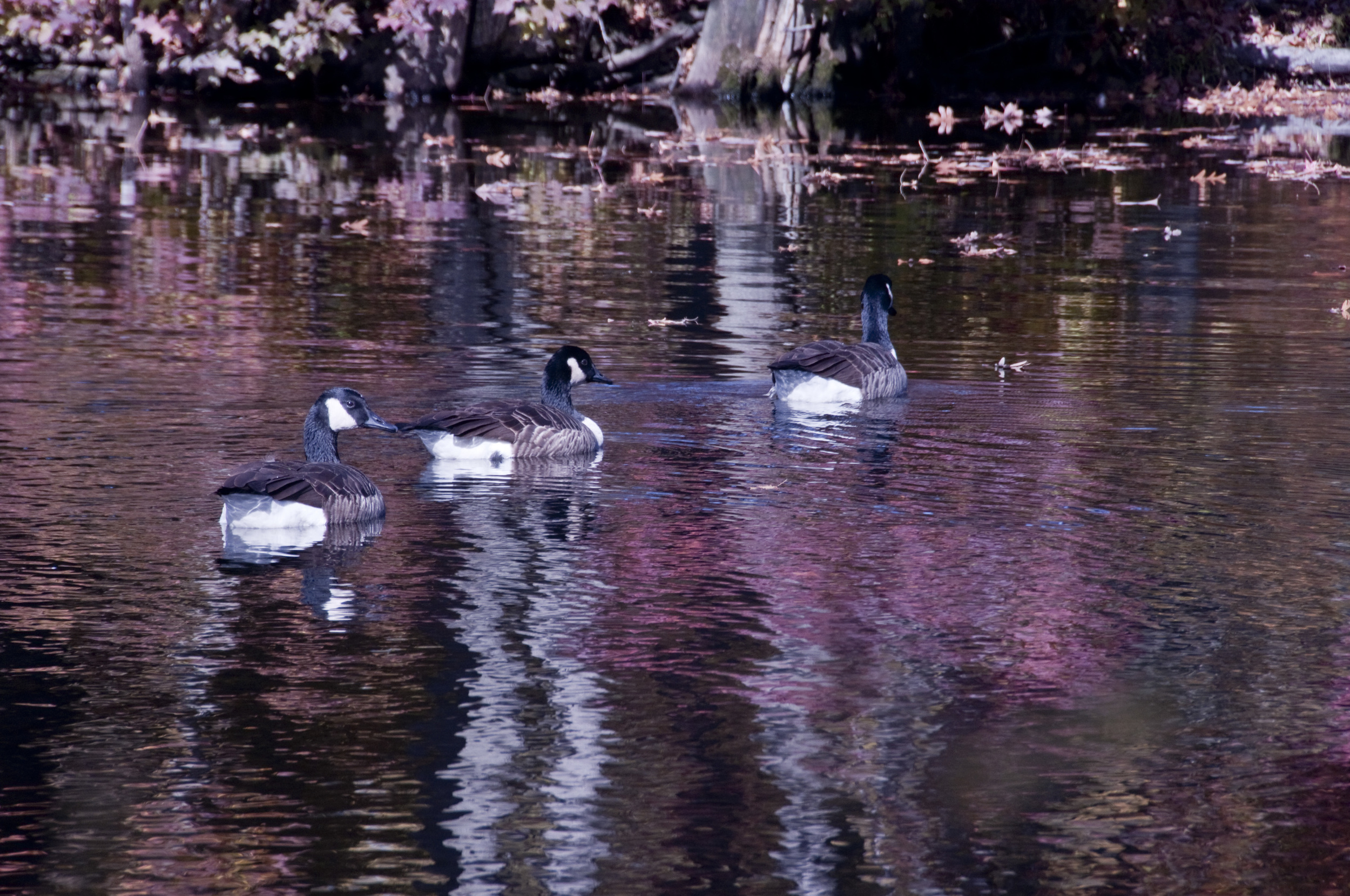 Bellvue State Park geese