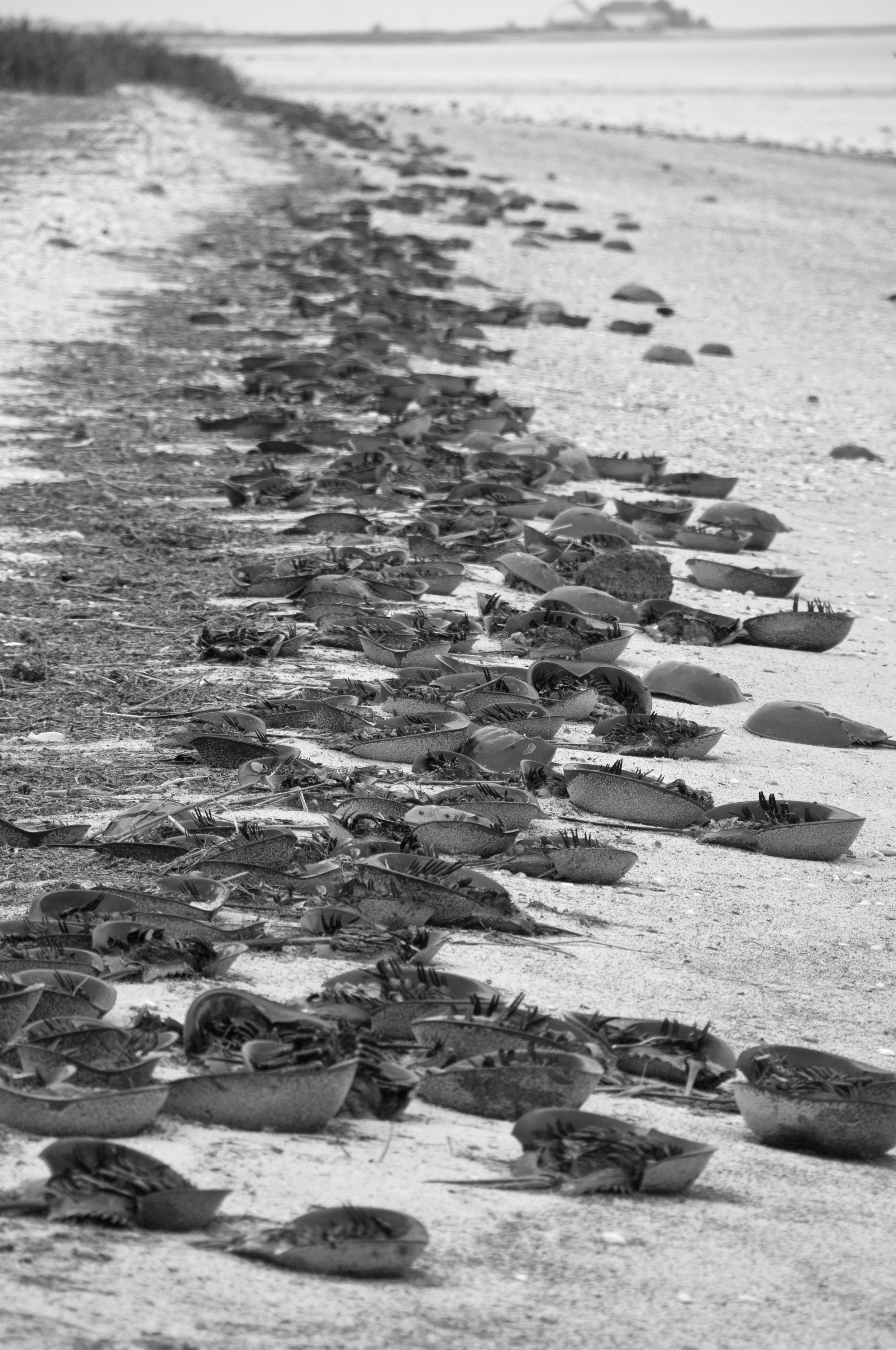 horseshoe crabs Kitts Hummock Beach