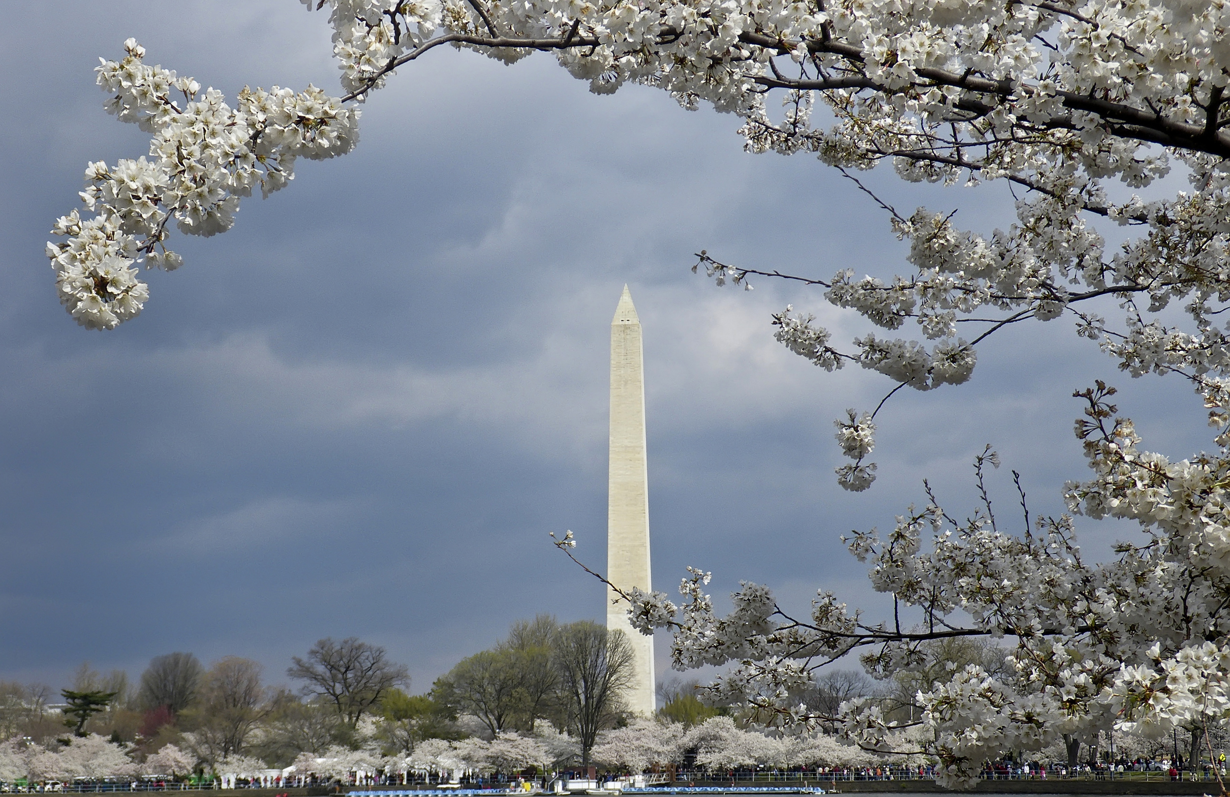 Washington Monument with cherry blossoms