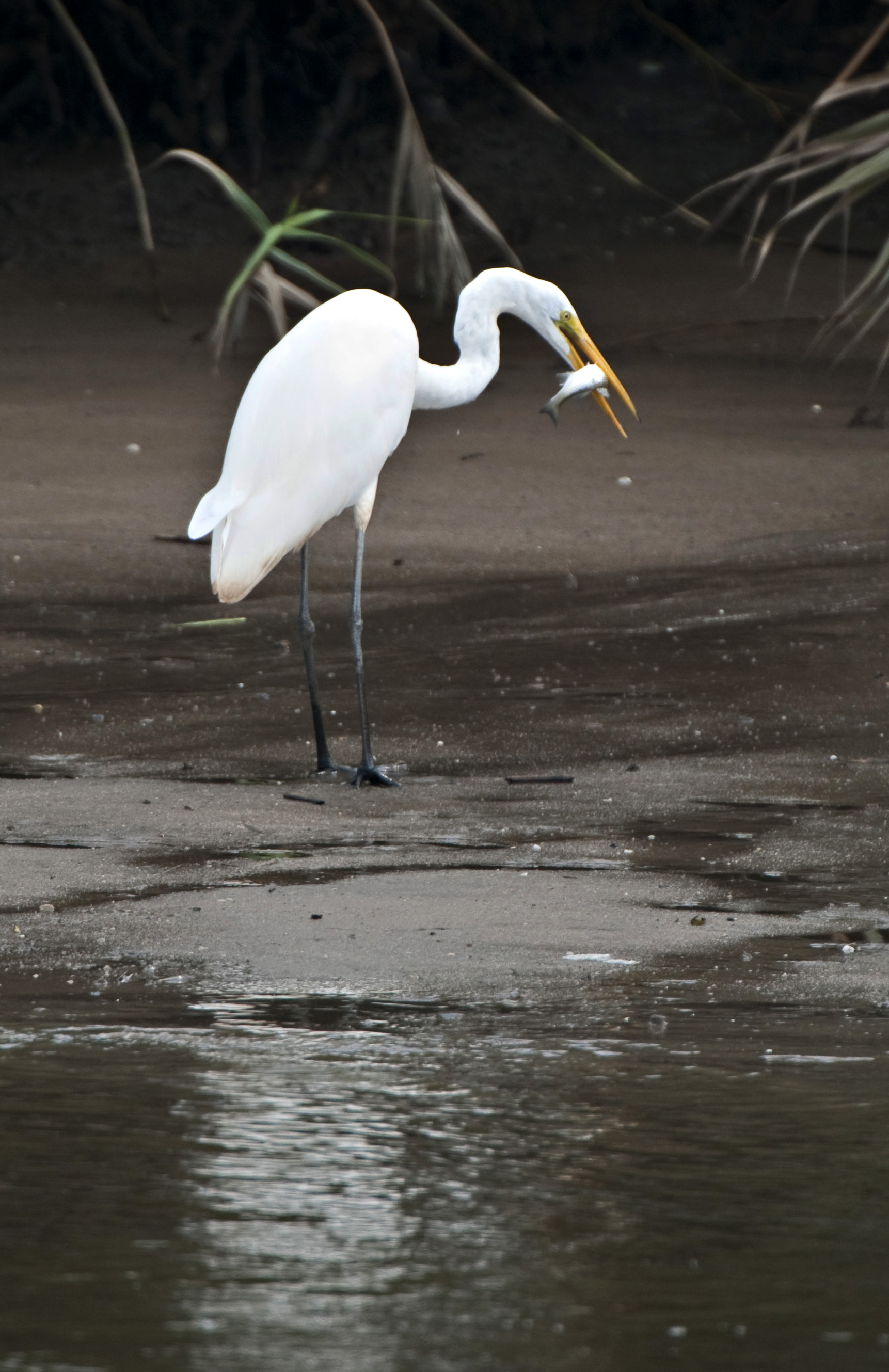 great white egret with a meal