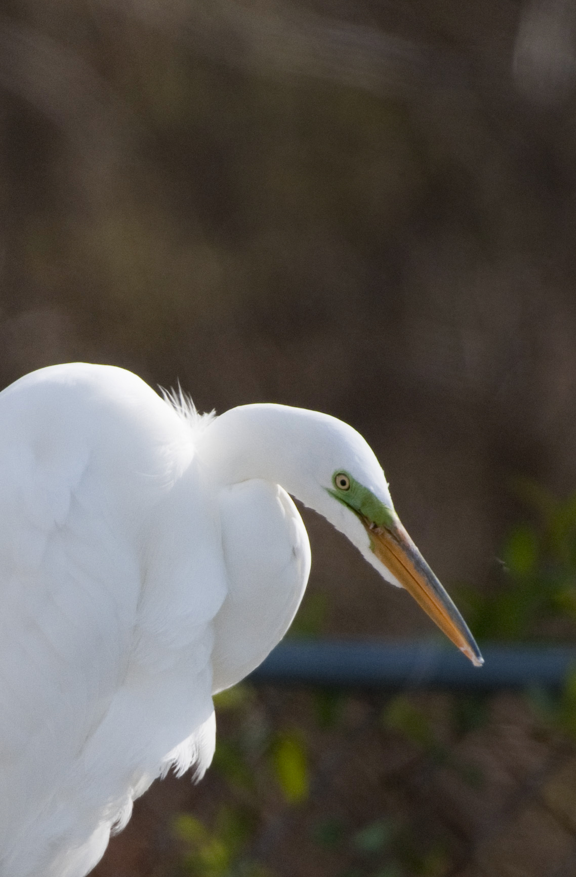 great white egret in mating plumage