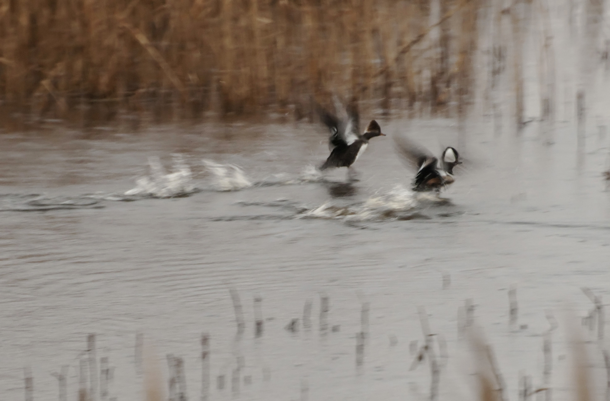 hooded mergansers taking off